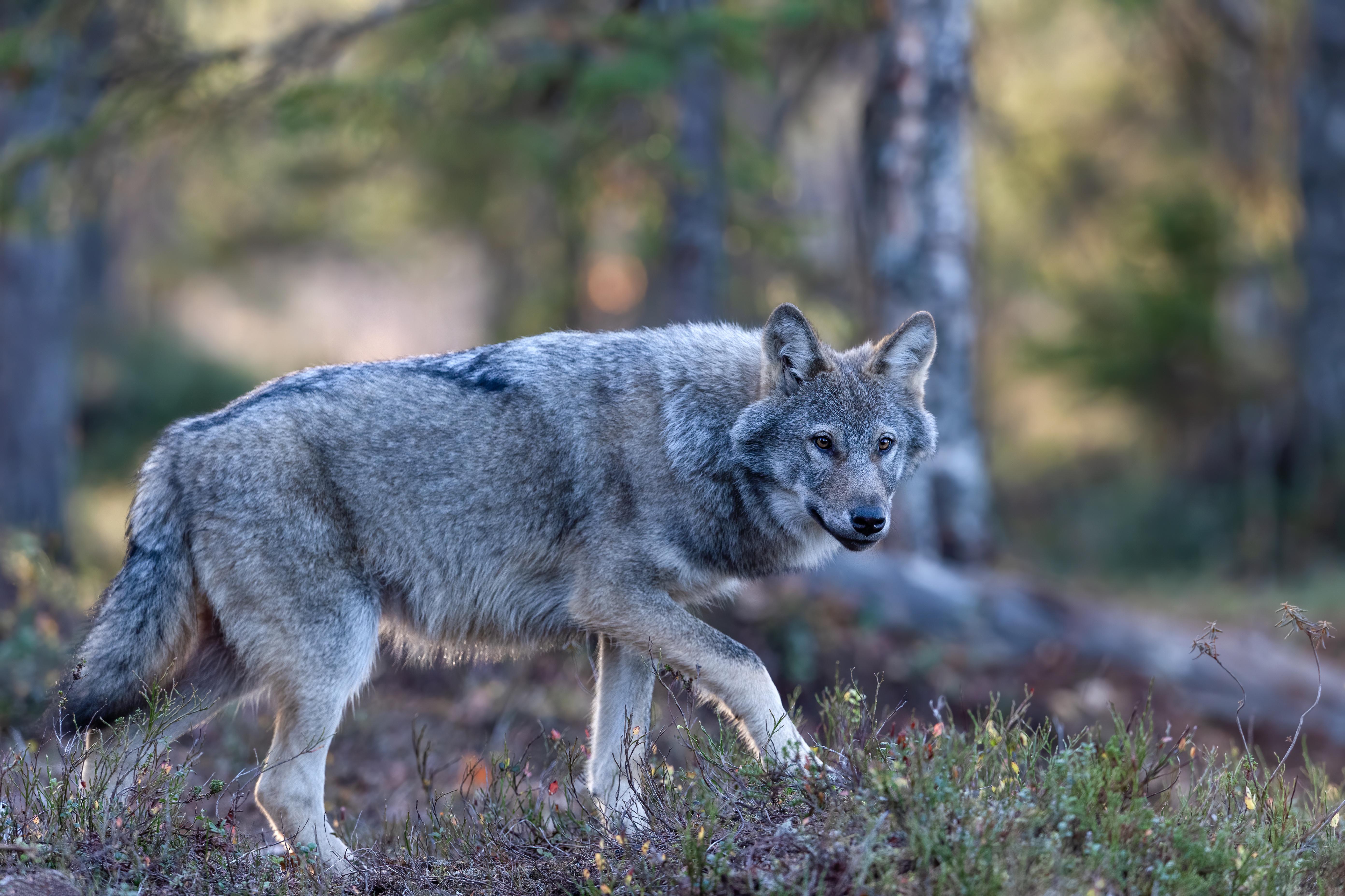 Wildlife Wolf Predator Animal 5568x3712