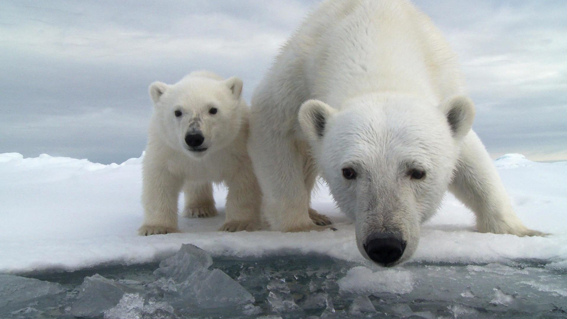 Baby Animal Polar Bear 1920x1080