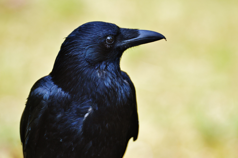 Bird Close Up Crow 6000x4000