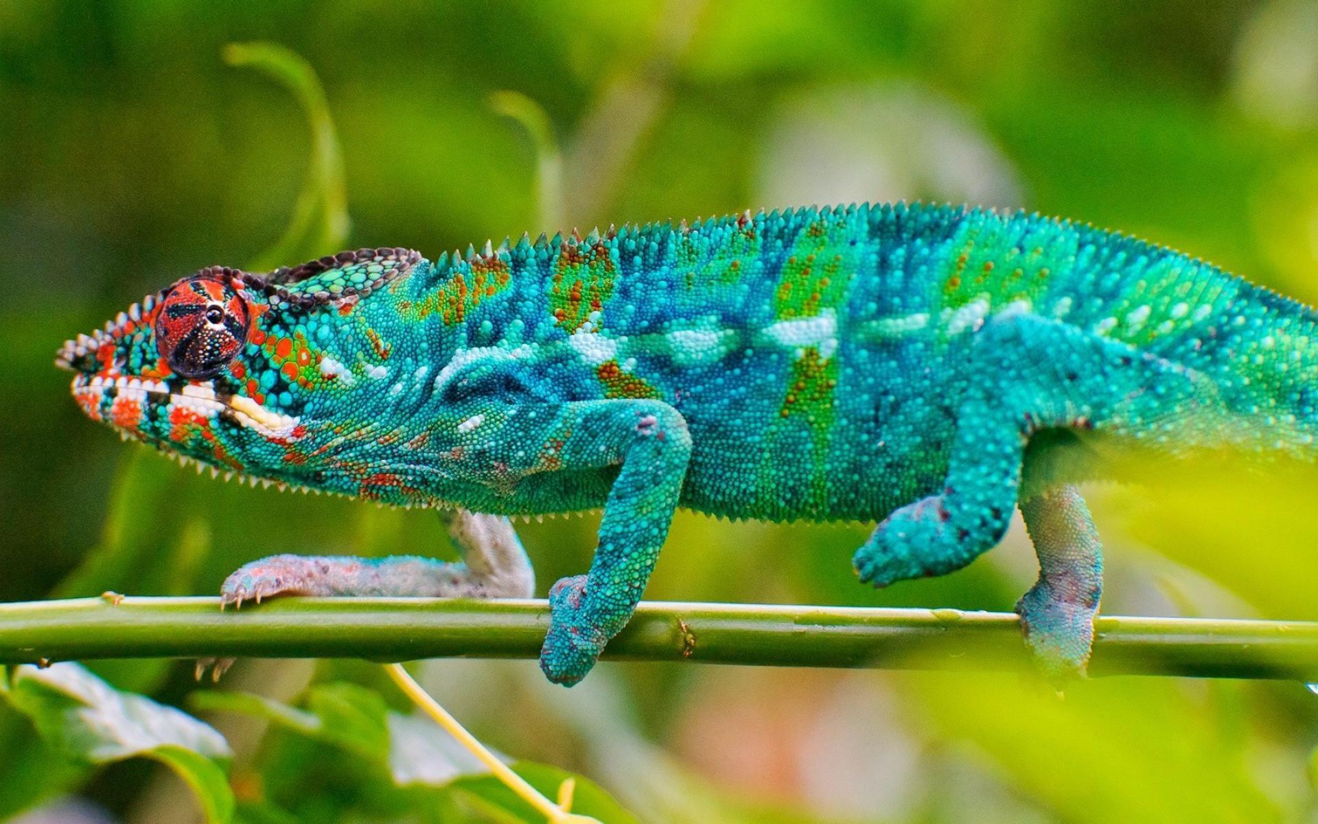 Chameleon 1920x1200