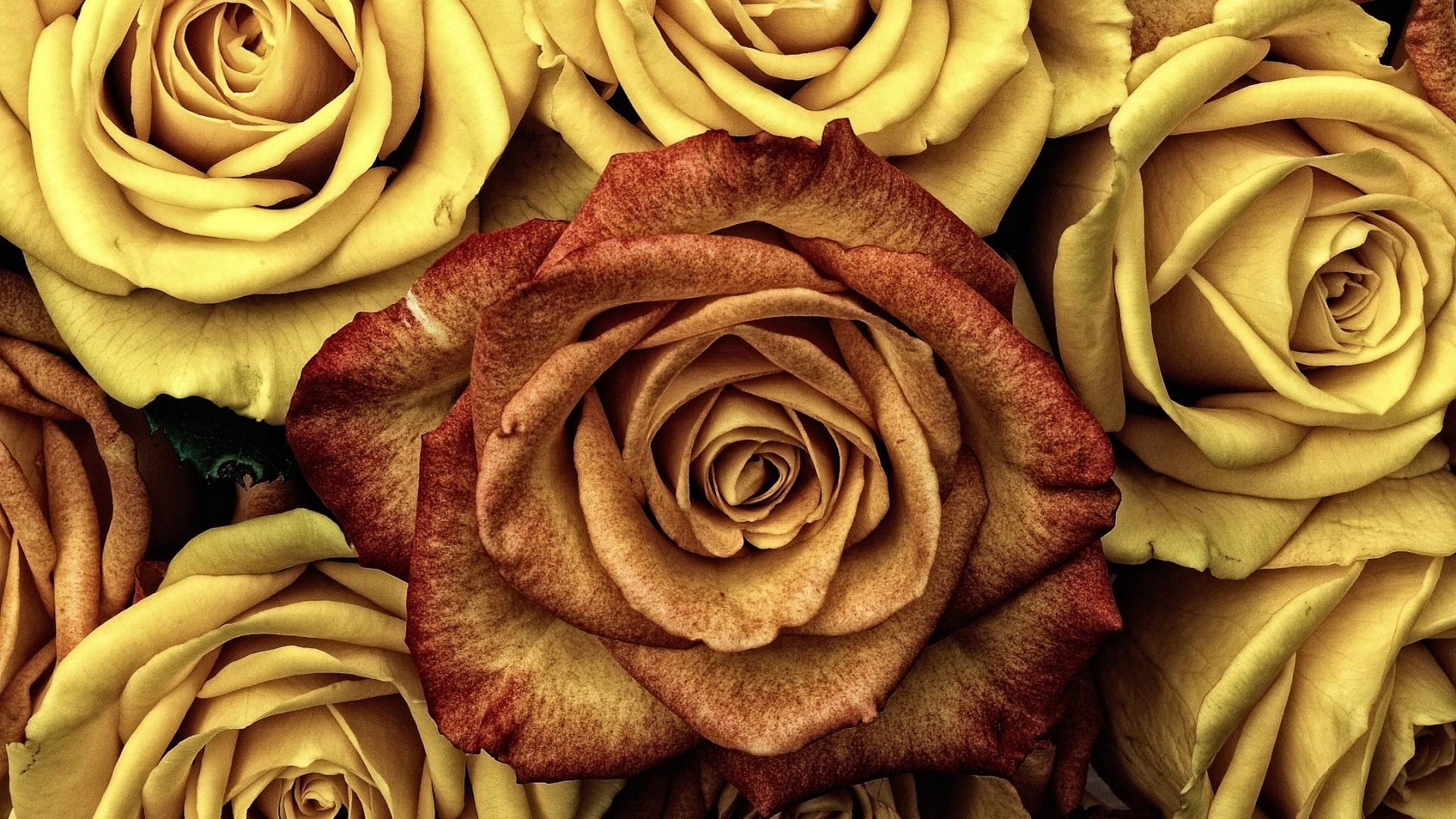 Earth Flower Rose Yellow Flower Orange Color 1920x1080