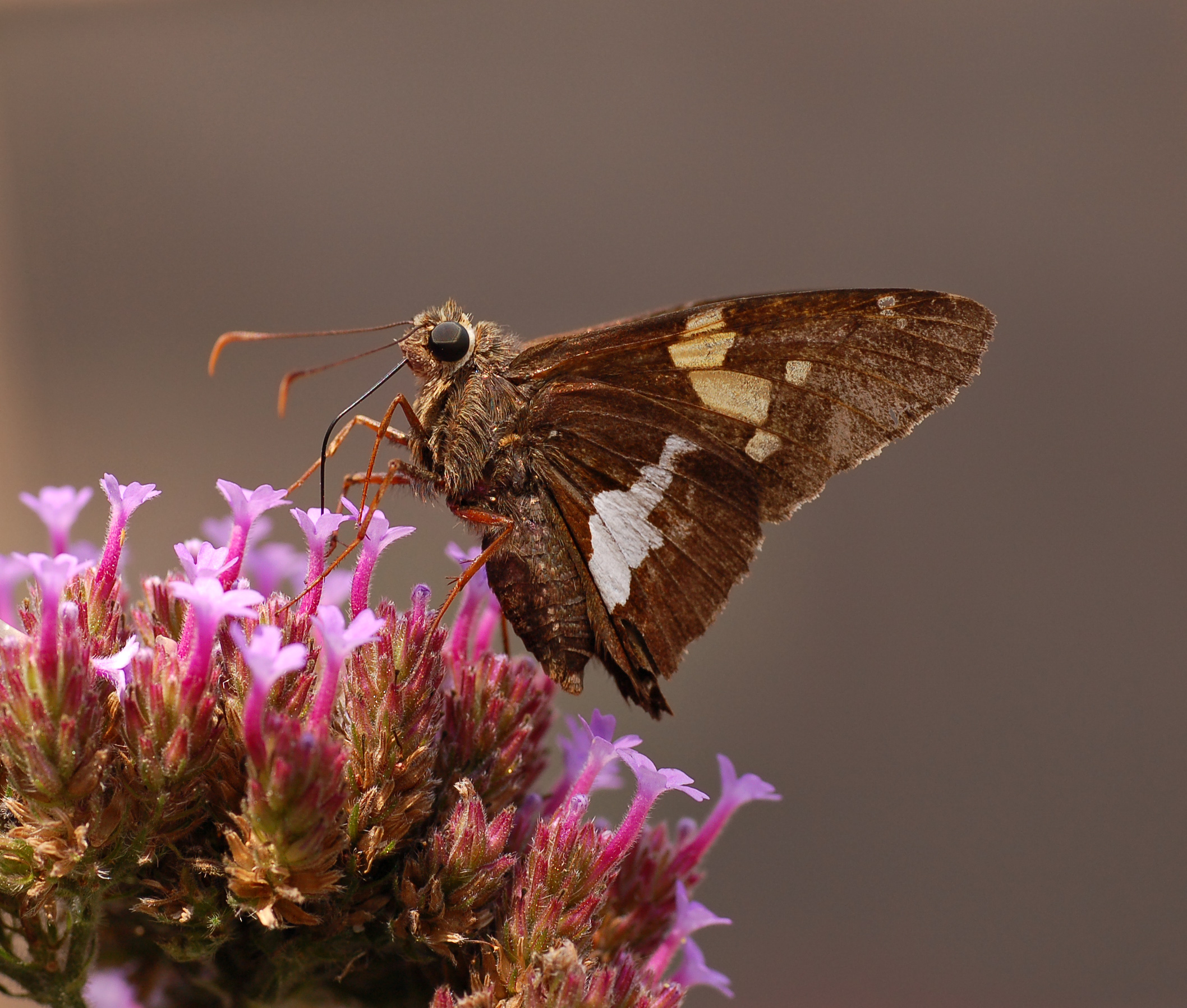 Animal Butterfly Flower Silver Spotted Skipper 2116x1797
