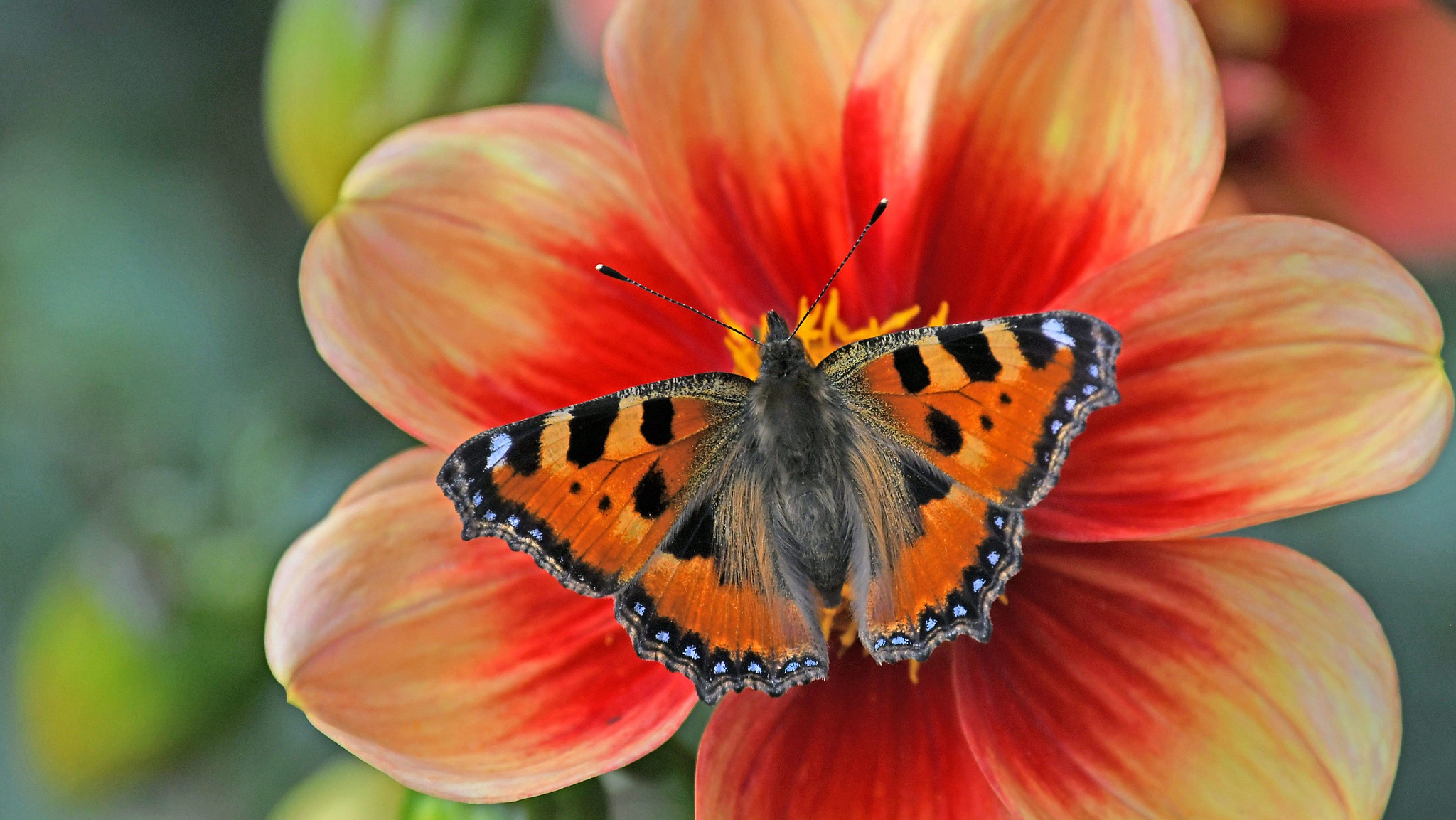 Butterfly Flower Insect Macro 2048x1153