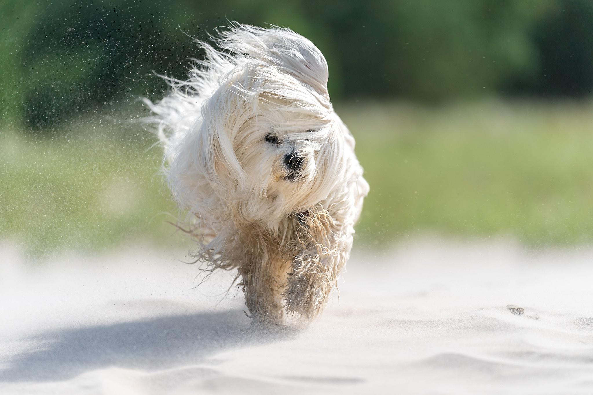 Dog Havanese Pet 2048x1365