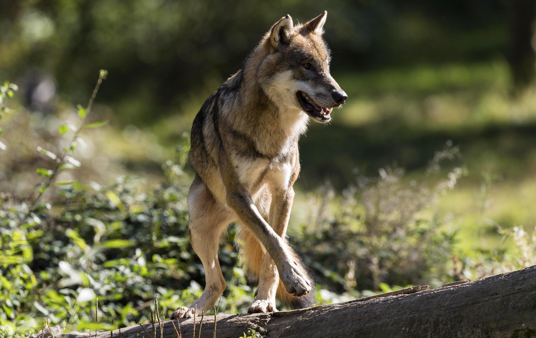Wildlife Wolf Predator Animal 3000x1894