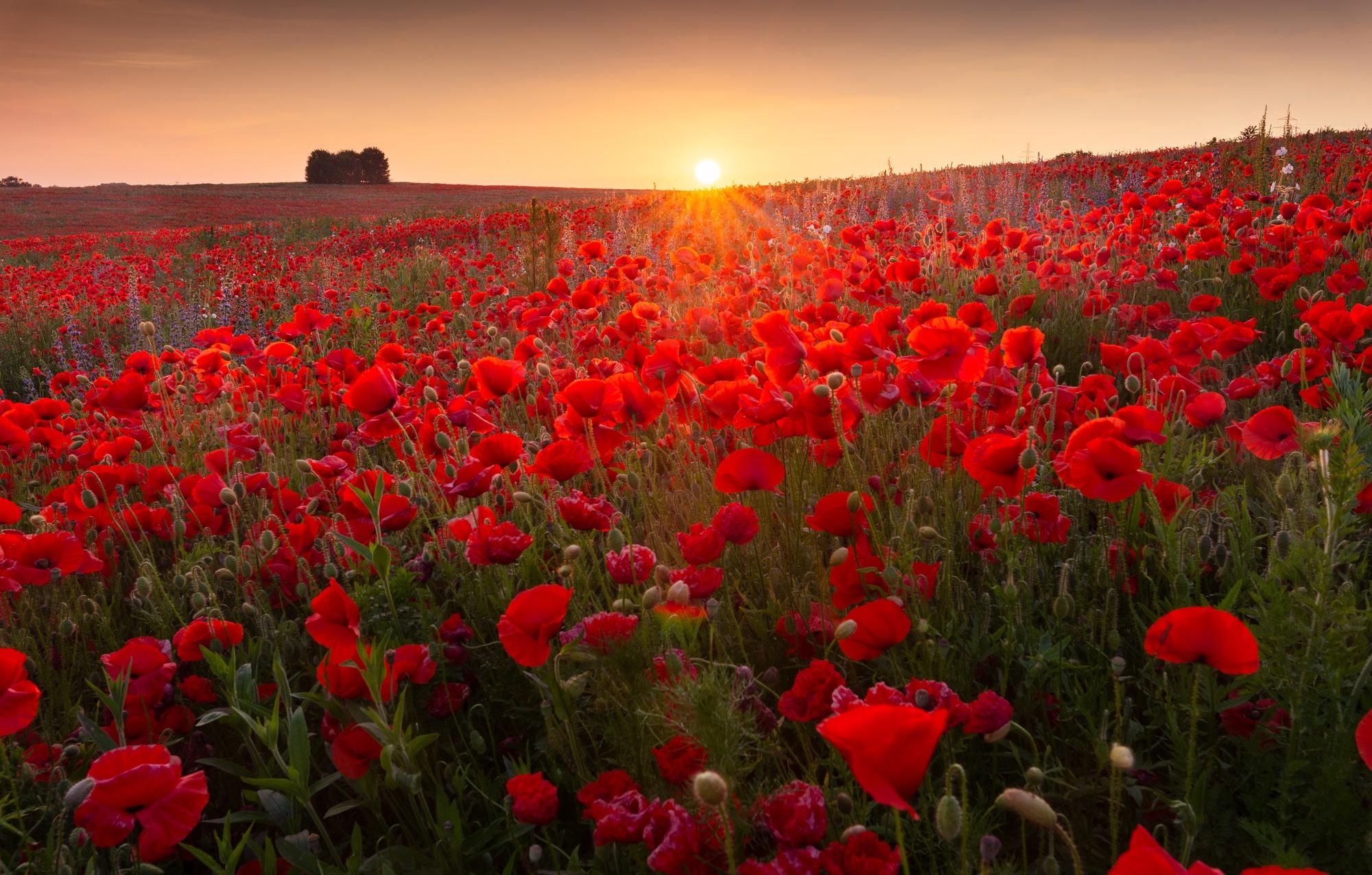 Nature Flower Red Flower Summer Sunrise 2000x1276