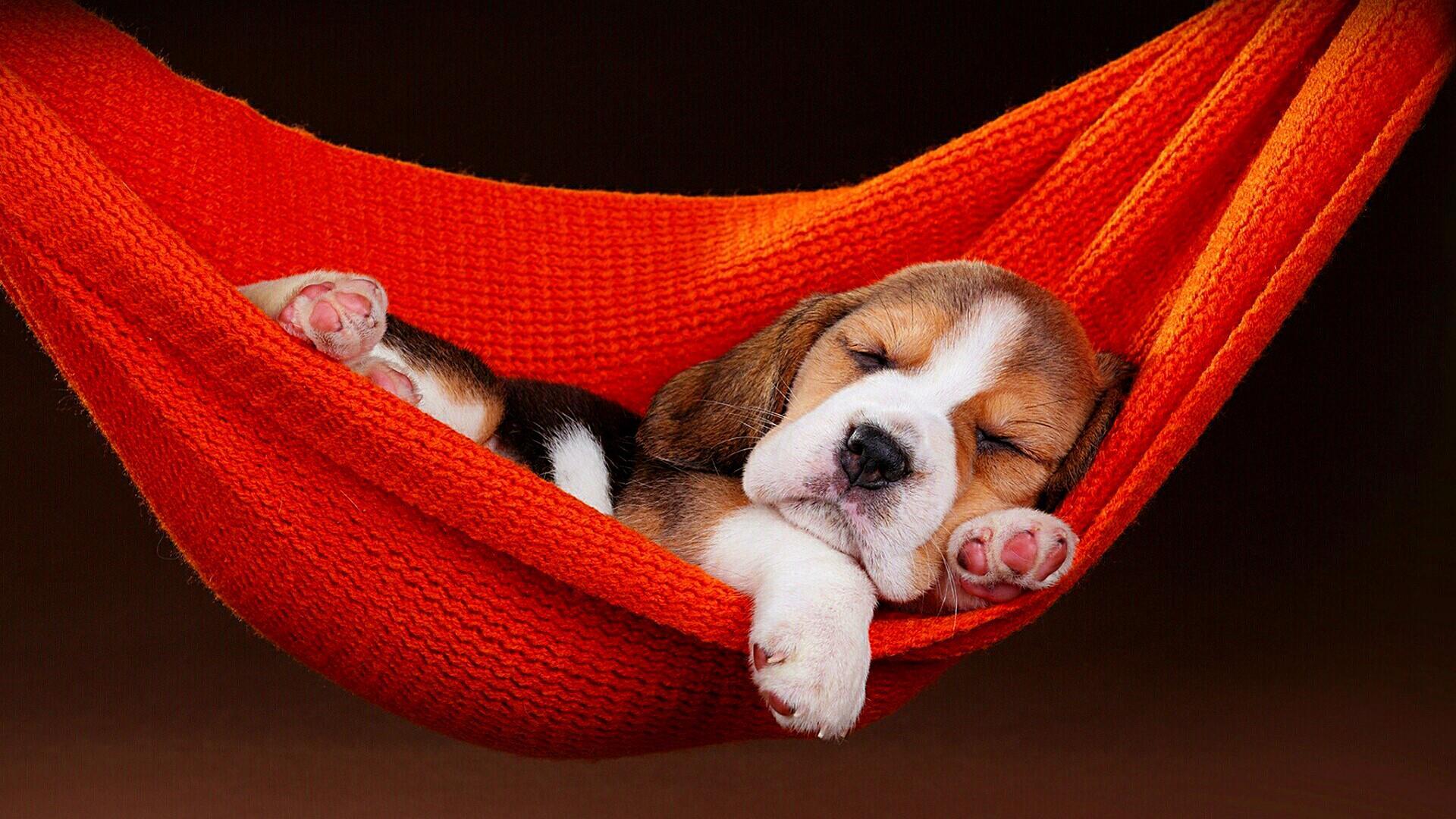 Dog Puppy Sleeping Hammock 1920x1080