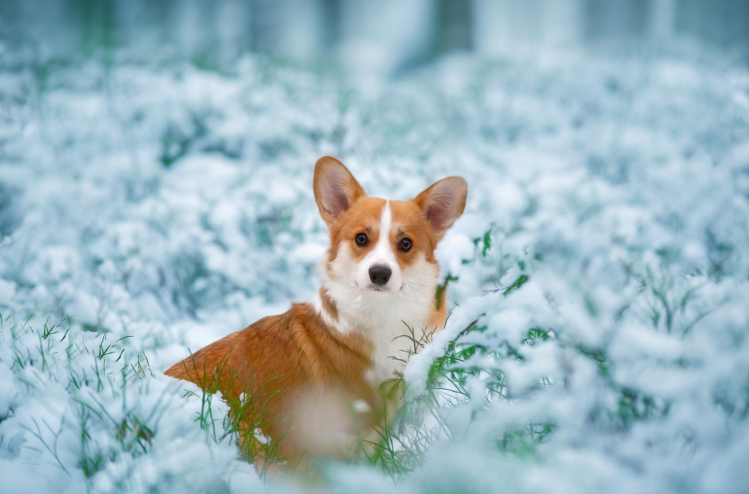 Snow Dog Pet 2500x1648