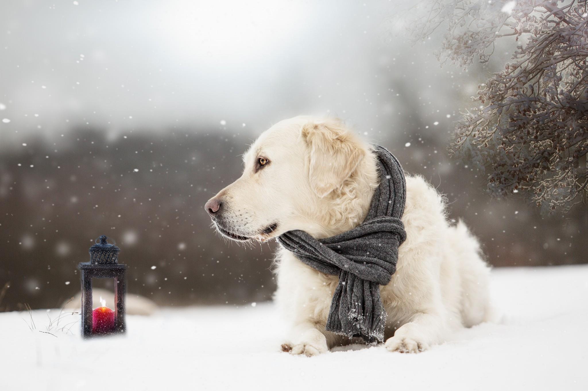 Dog Pet Snowfall Scarf Depth Of Field Winter Snow Lantern 2048x1365