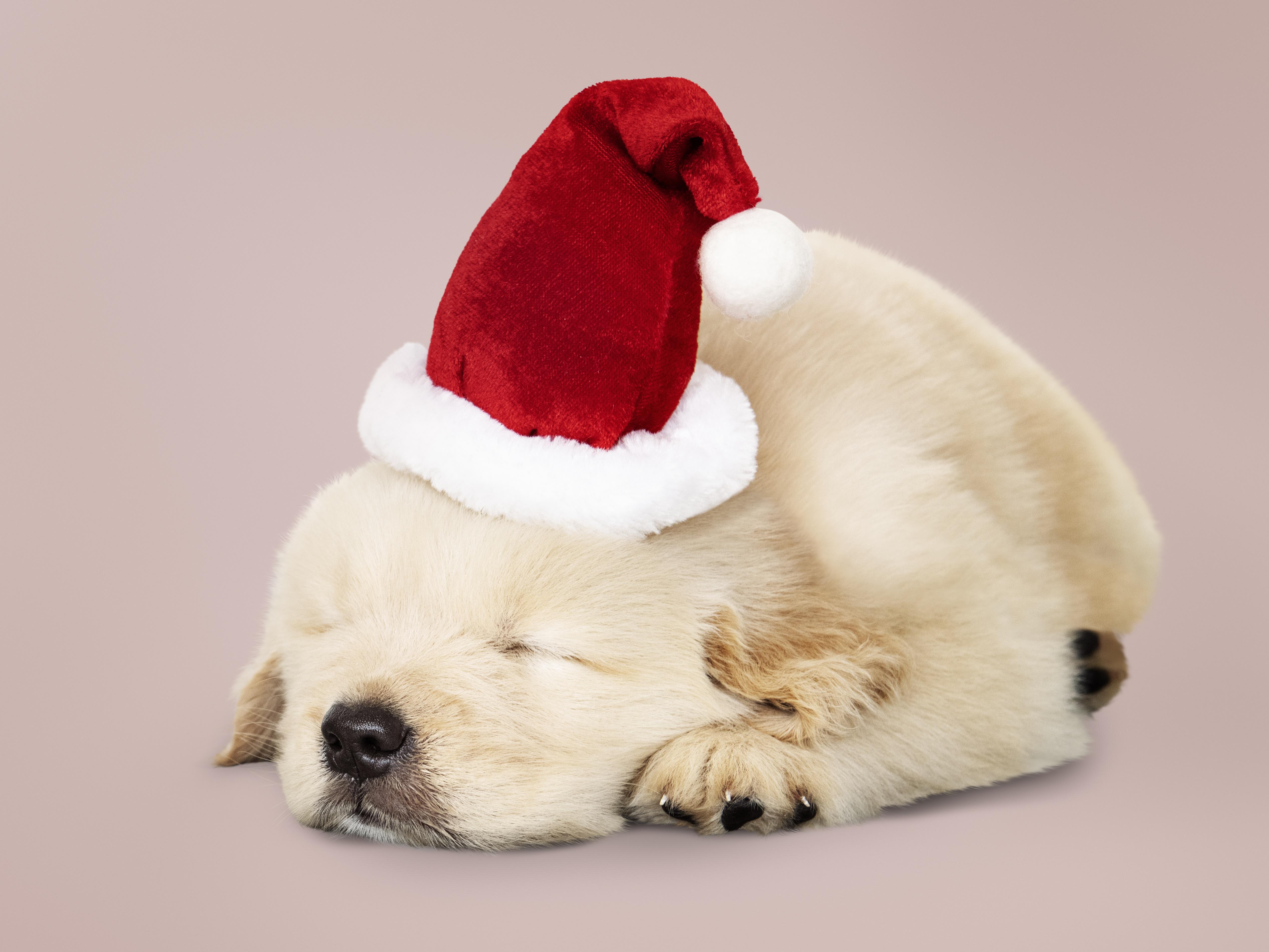 Dog Pet Baby Animal Puppy Santa Hat 5071x3804