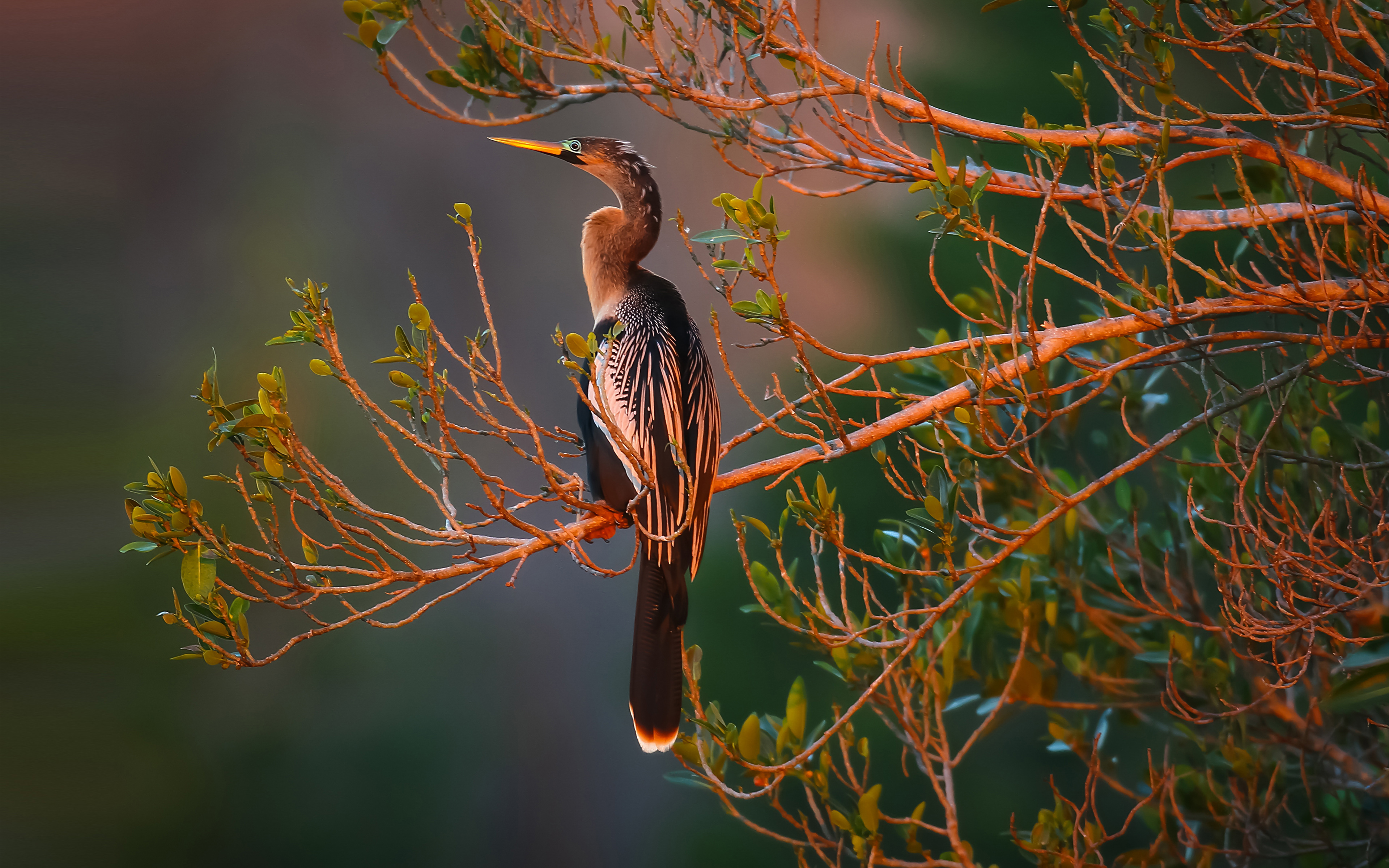 Anhinga Bird 3840x2400