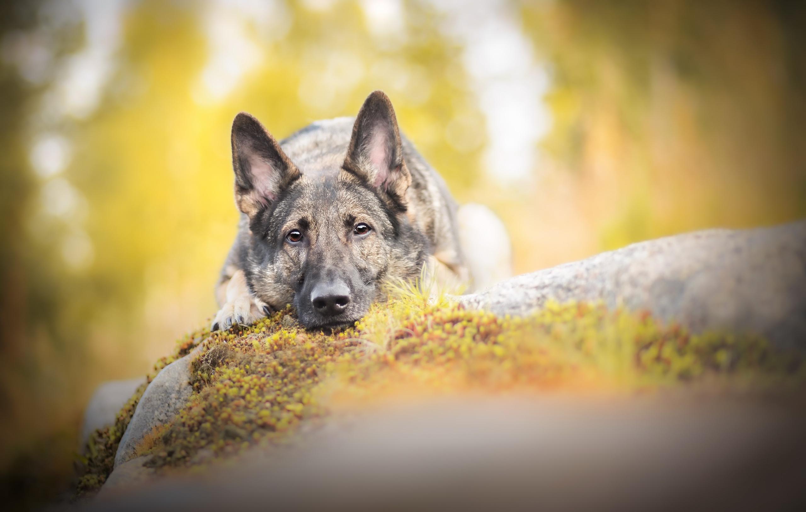 Dog Pet Muzzle Stare Depth Of Field Resting 2560x1628