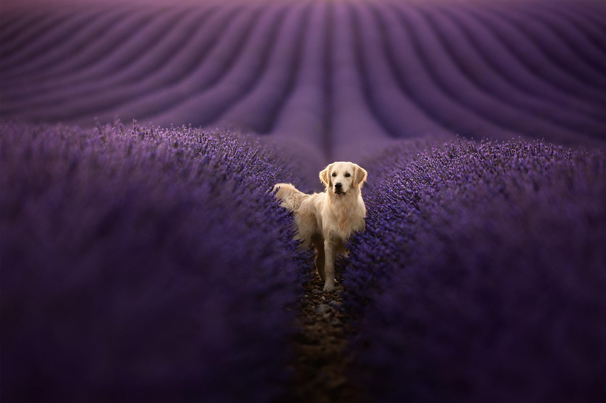 Dog Lavender Pet Depth Of Field Field Flower 2048x1363