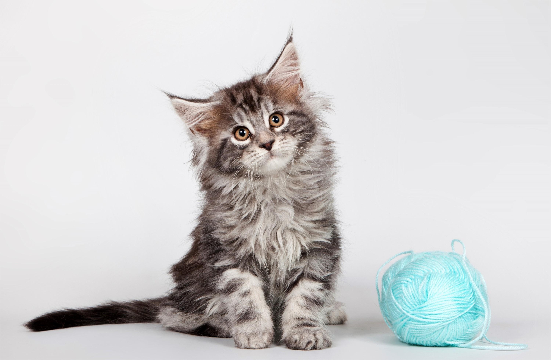 Cute Kitten Maine Coon 3000x1957