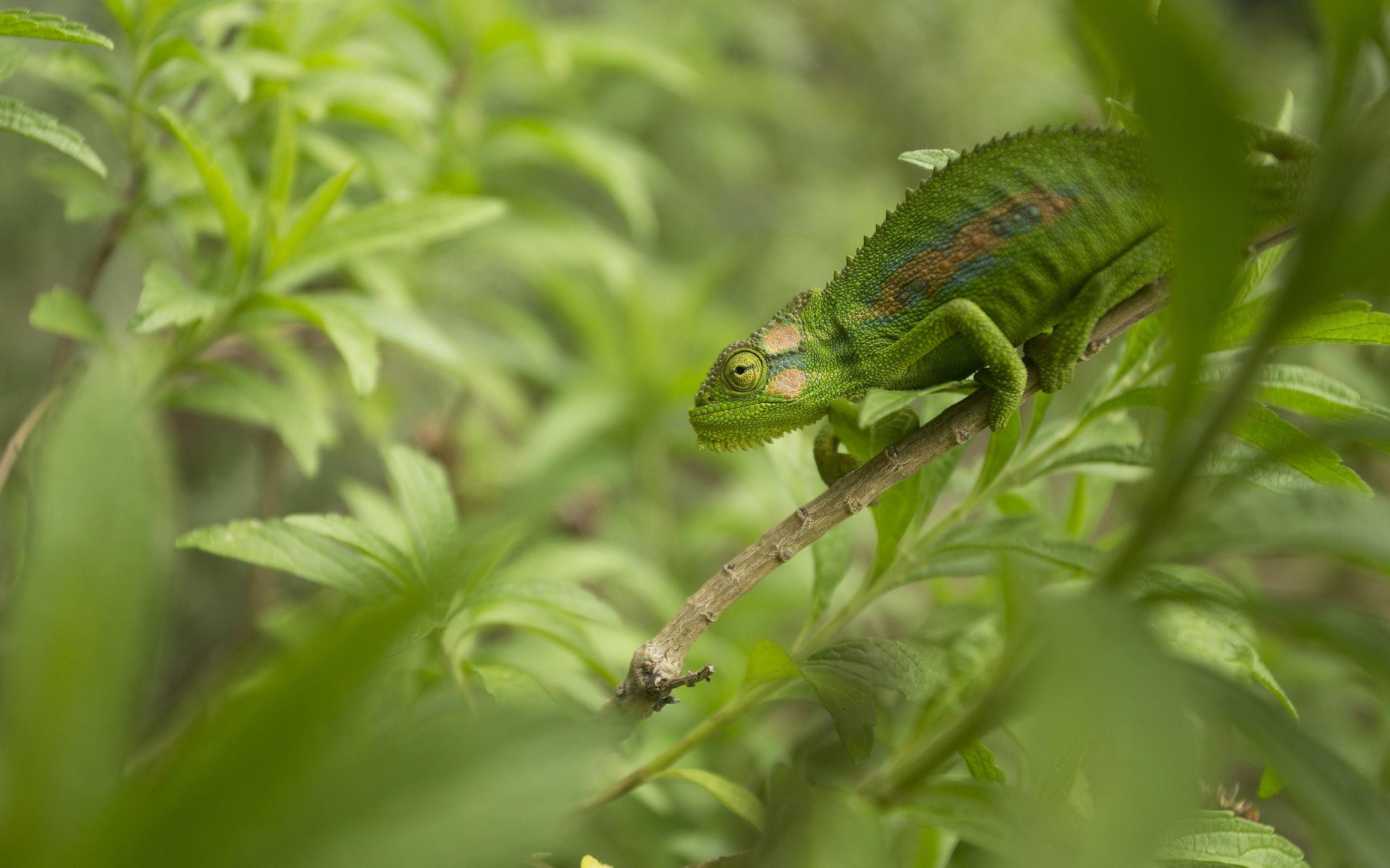 Lizard Reptile Green Wildlife 2048x1279