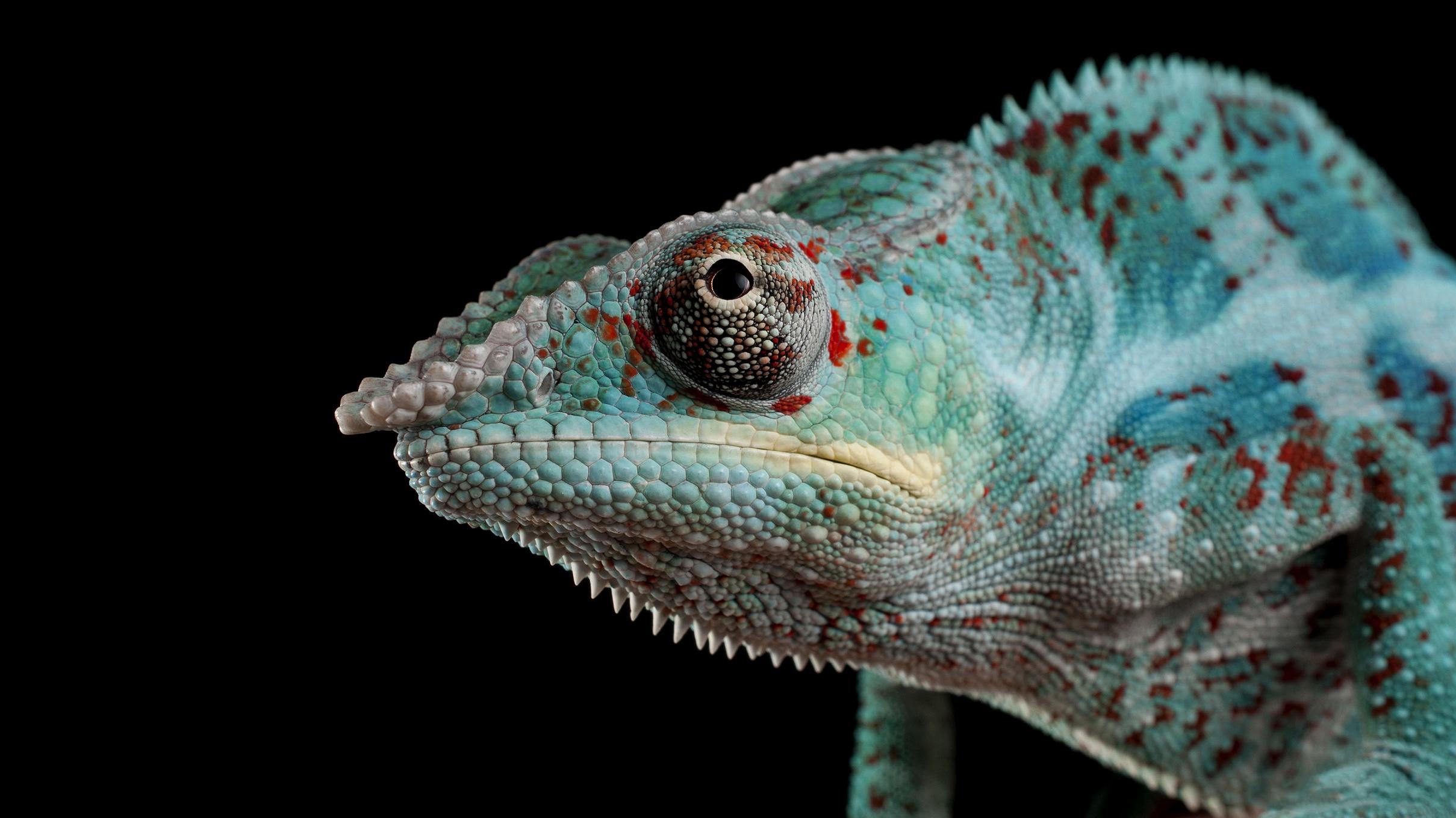 Animal Chameleon 2418x1360