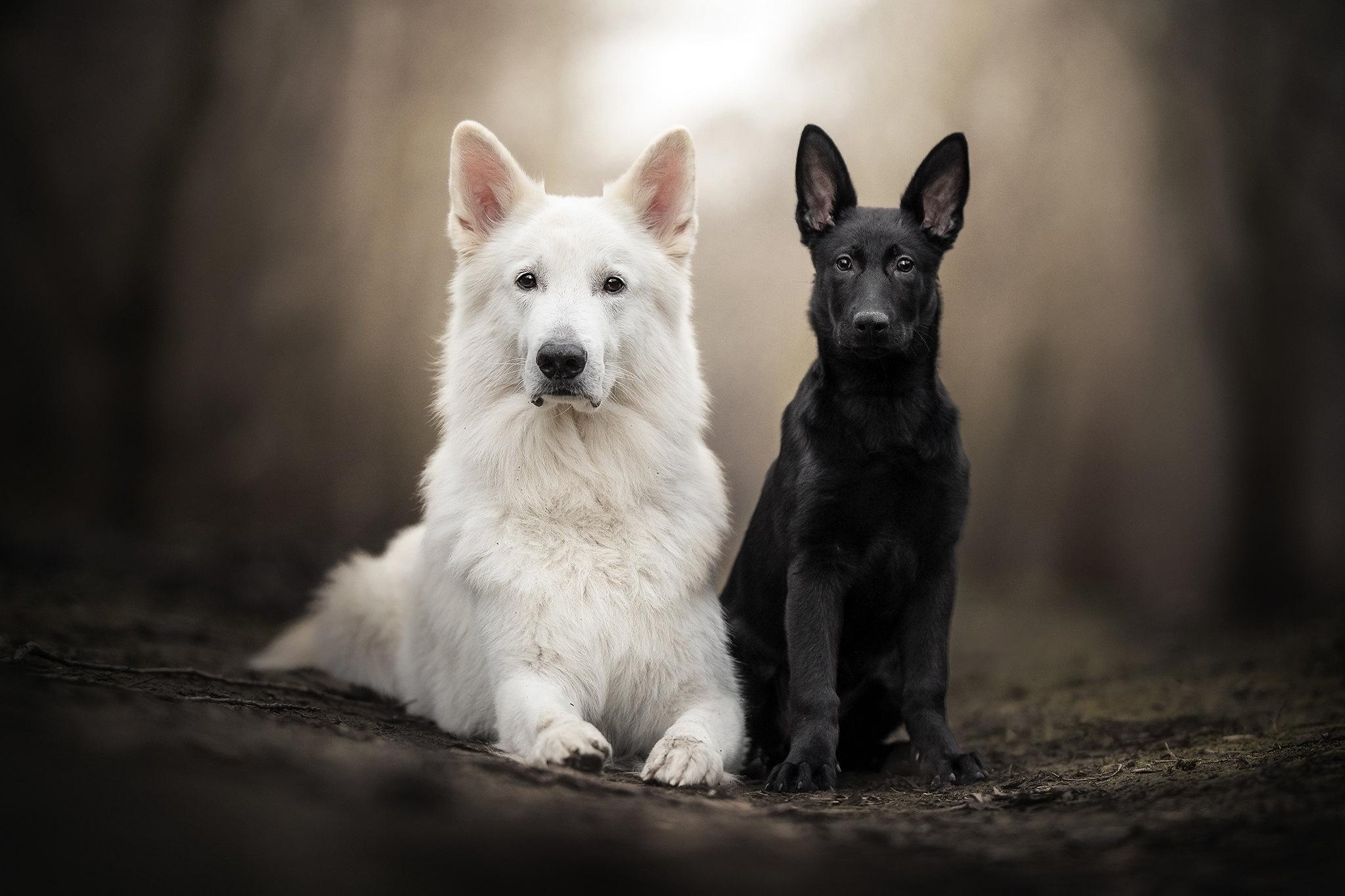 Baby Animal German Shepherd Pet Puppy Swiss Shepherd 2048x1365
