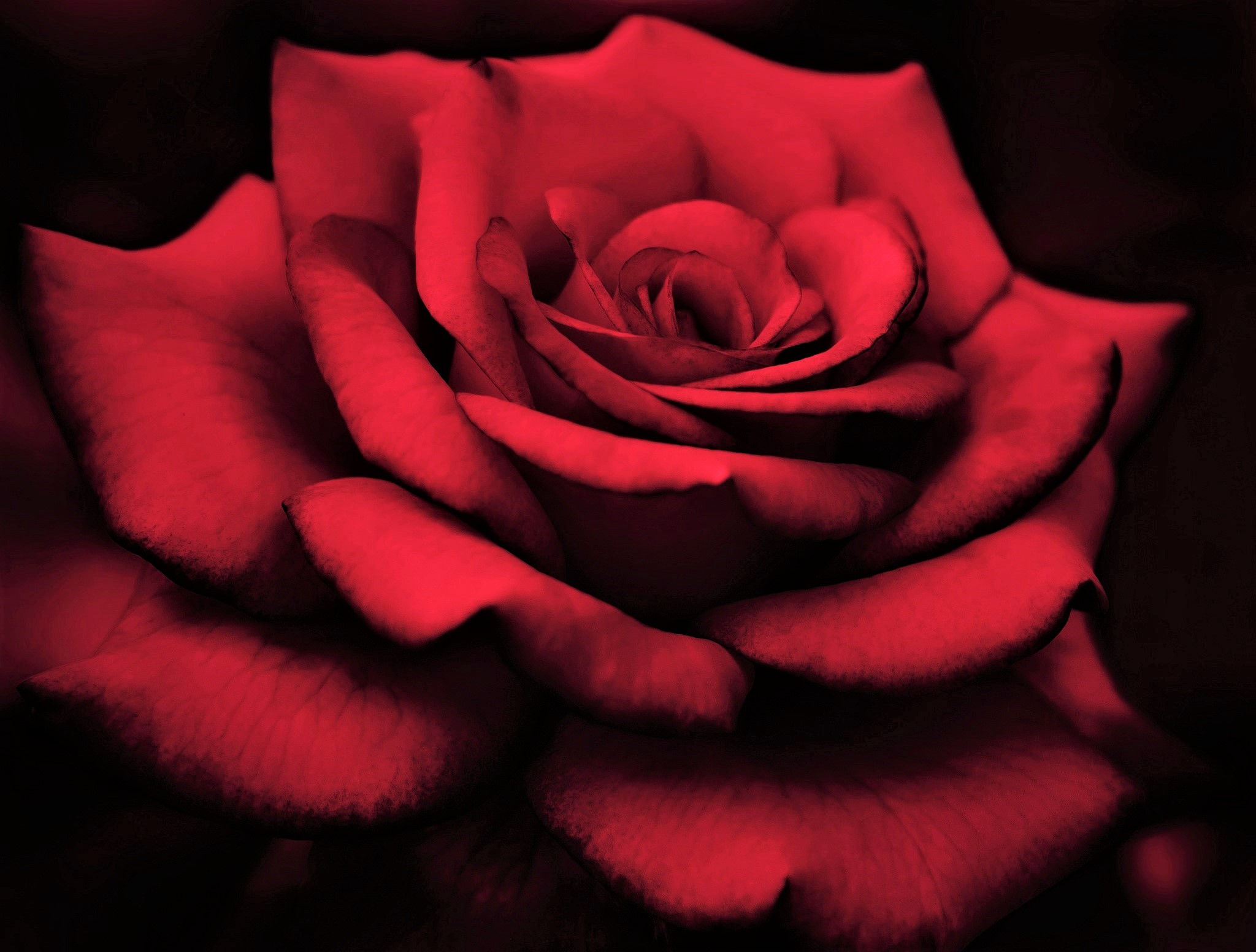 Flower Red Rose Close Up Red Flower Macro 2048x1552