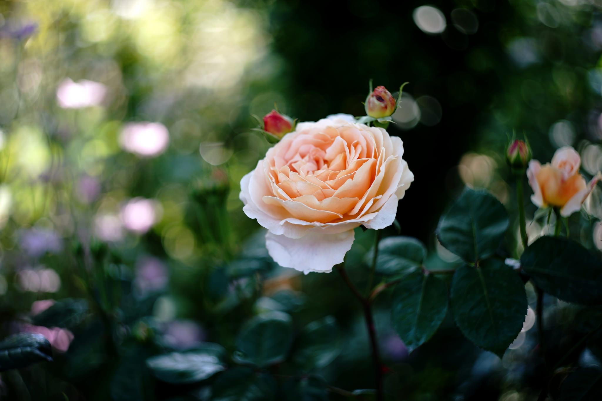 Nature Flower Peach Flower Bokeh 2048x1365
