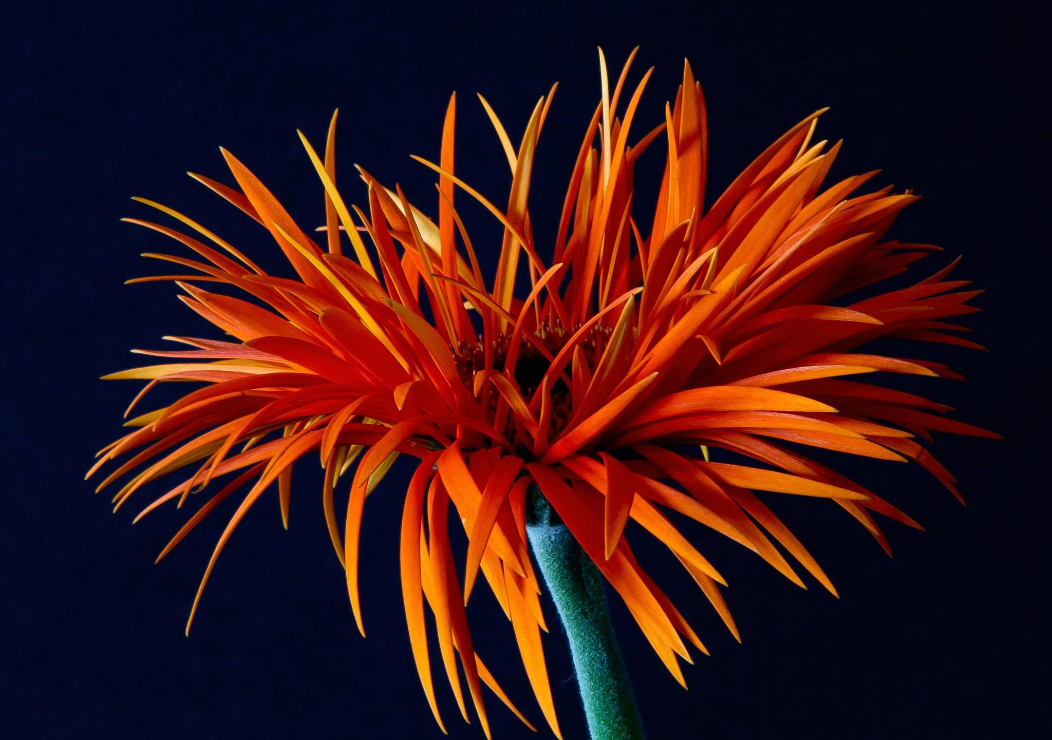 Gerbera Macro Orange Flower 2048x1441