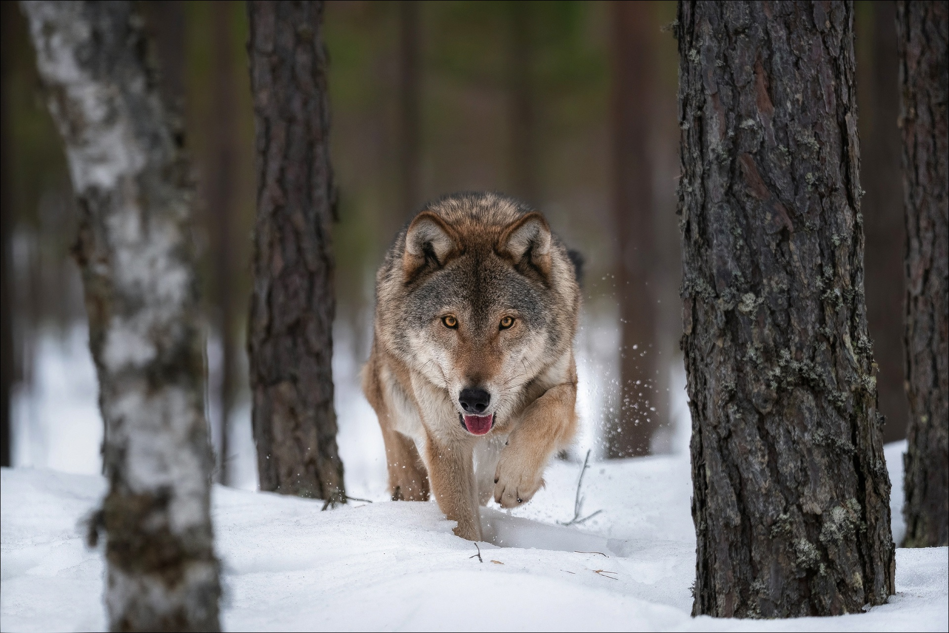 Snow Wildlife Winter Wolf Predator Animal 1920x1282