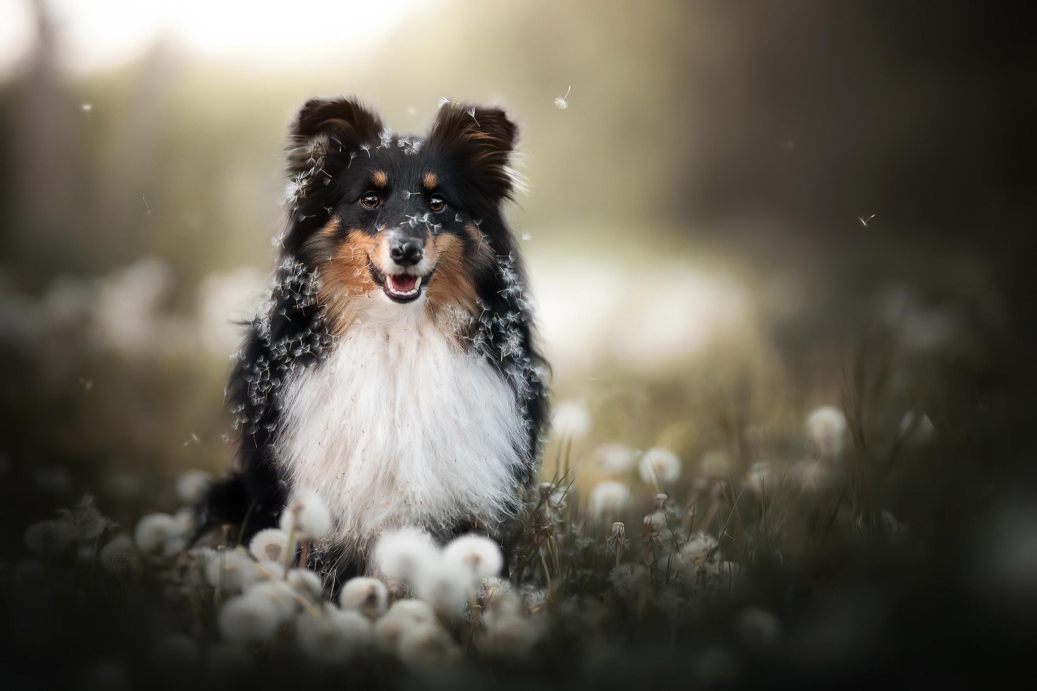 Dog Dandelion Depth Of Field Pet 2048x1365