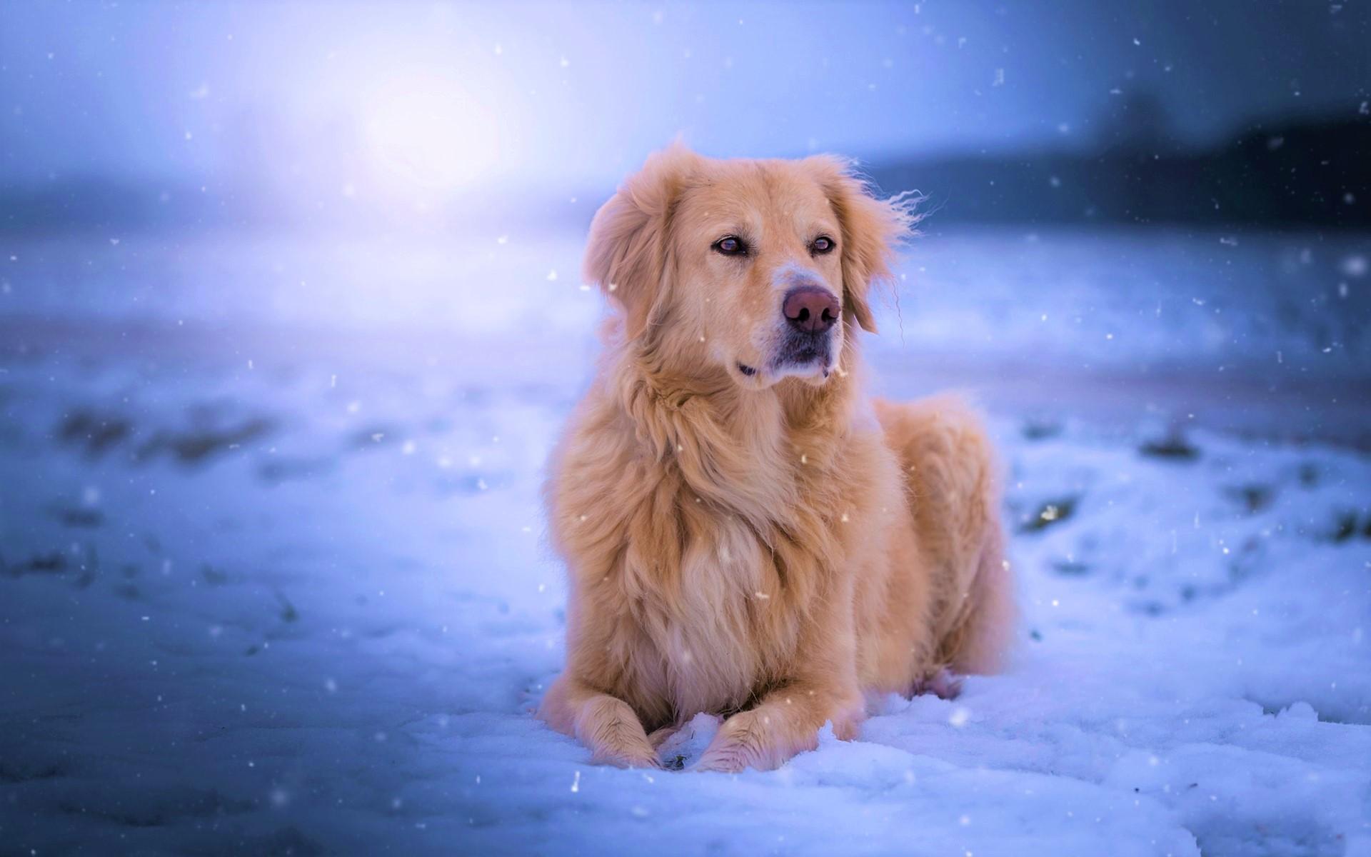 Dog Snow Winter Snowfall Pet 1920x1200