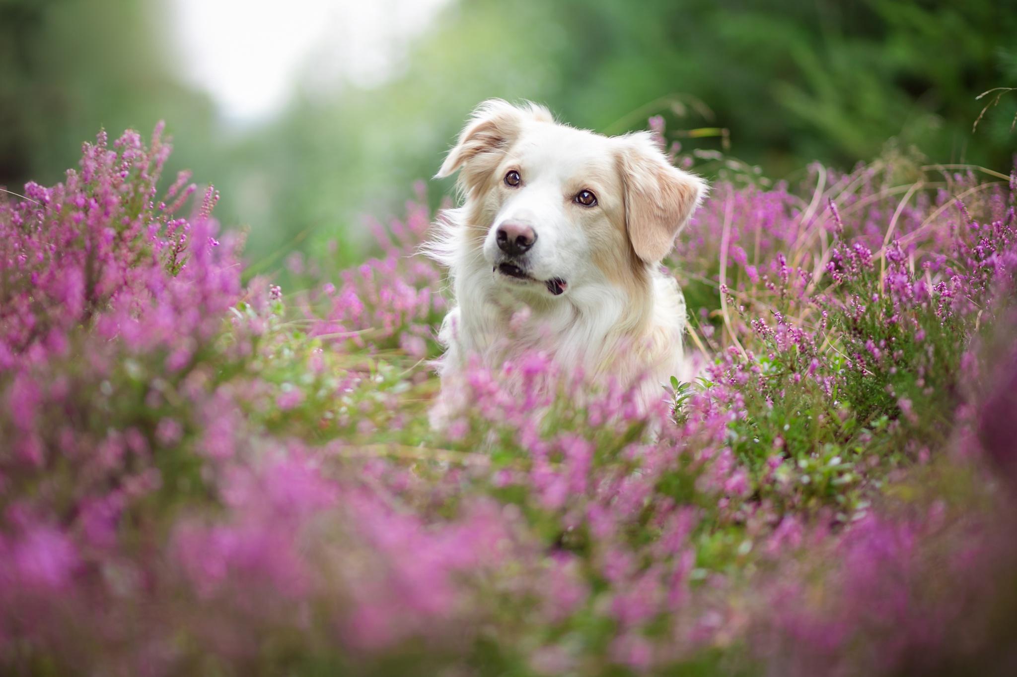Flower Lavender Pet 2048x1365