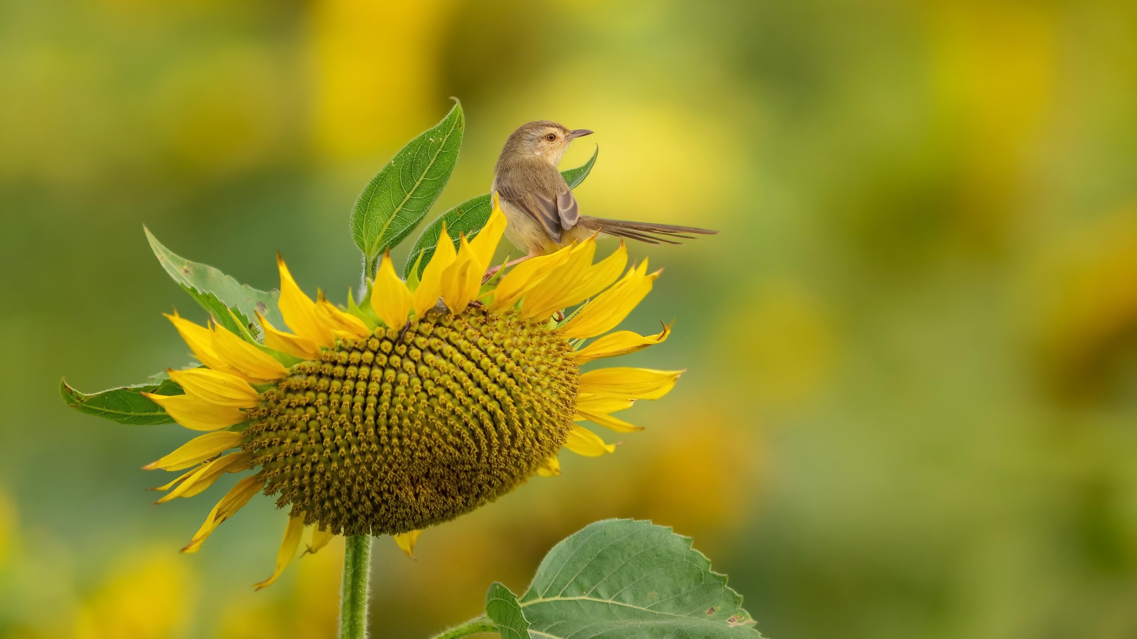 Sunflower Yellow Flower Wildlife 3840x2160