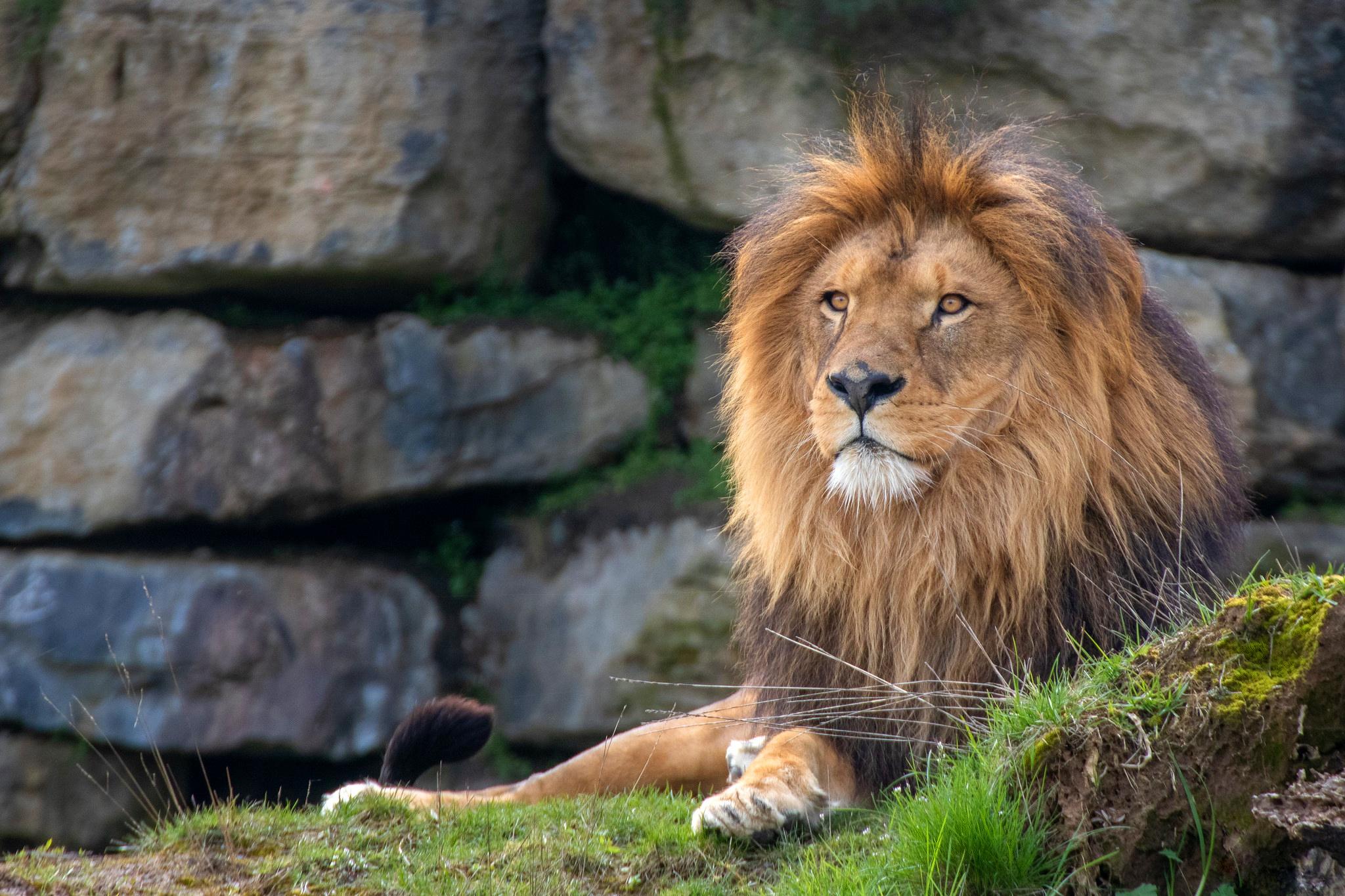 Big Cat Wildlife Predator Animal 2048x1365