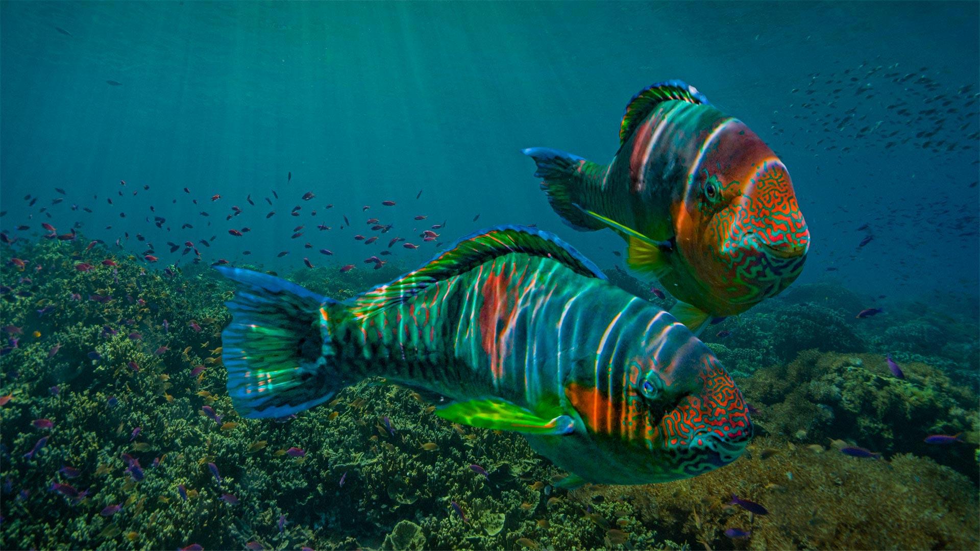 Animal Parrotfish 1920x1080