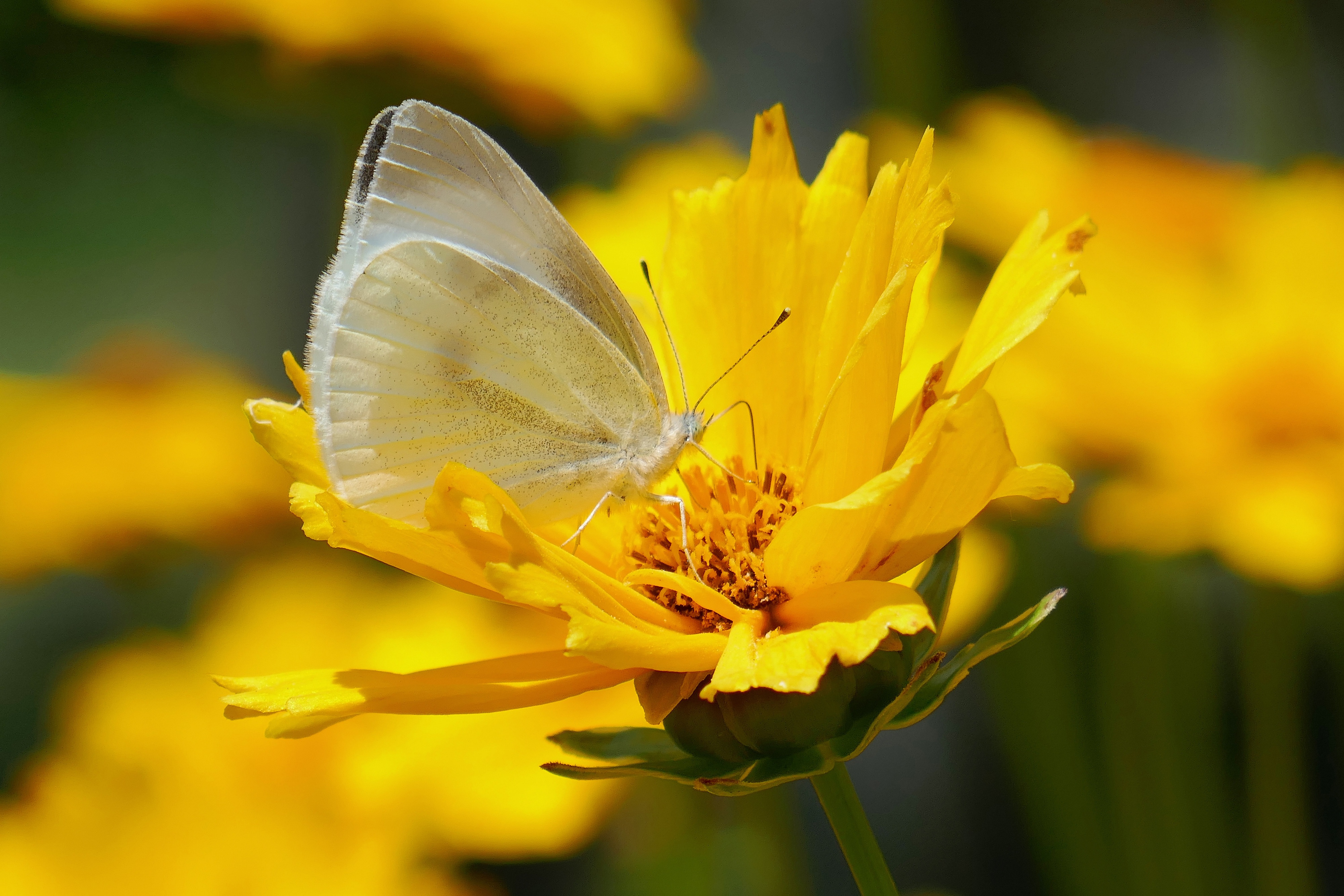 Butterfly Flower Insect Macro Yellow Flower 4000x2667