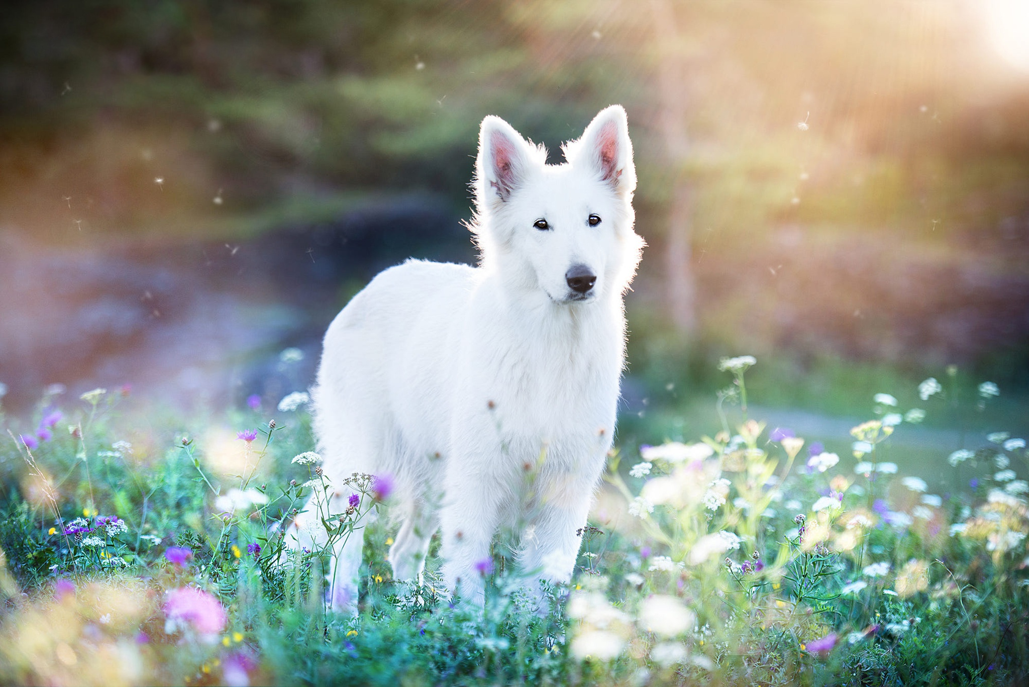 Dog Pet Flower Depth Of Field 2048x1367