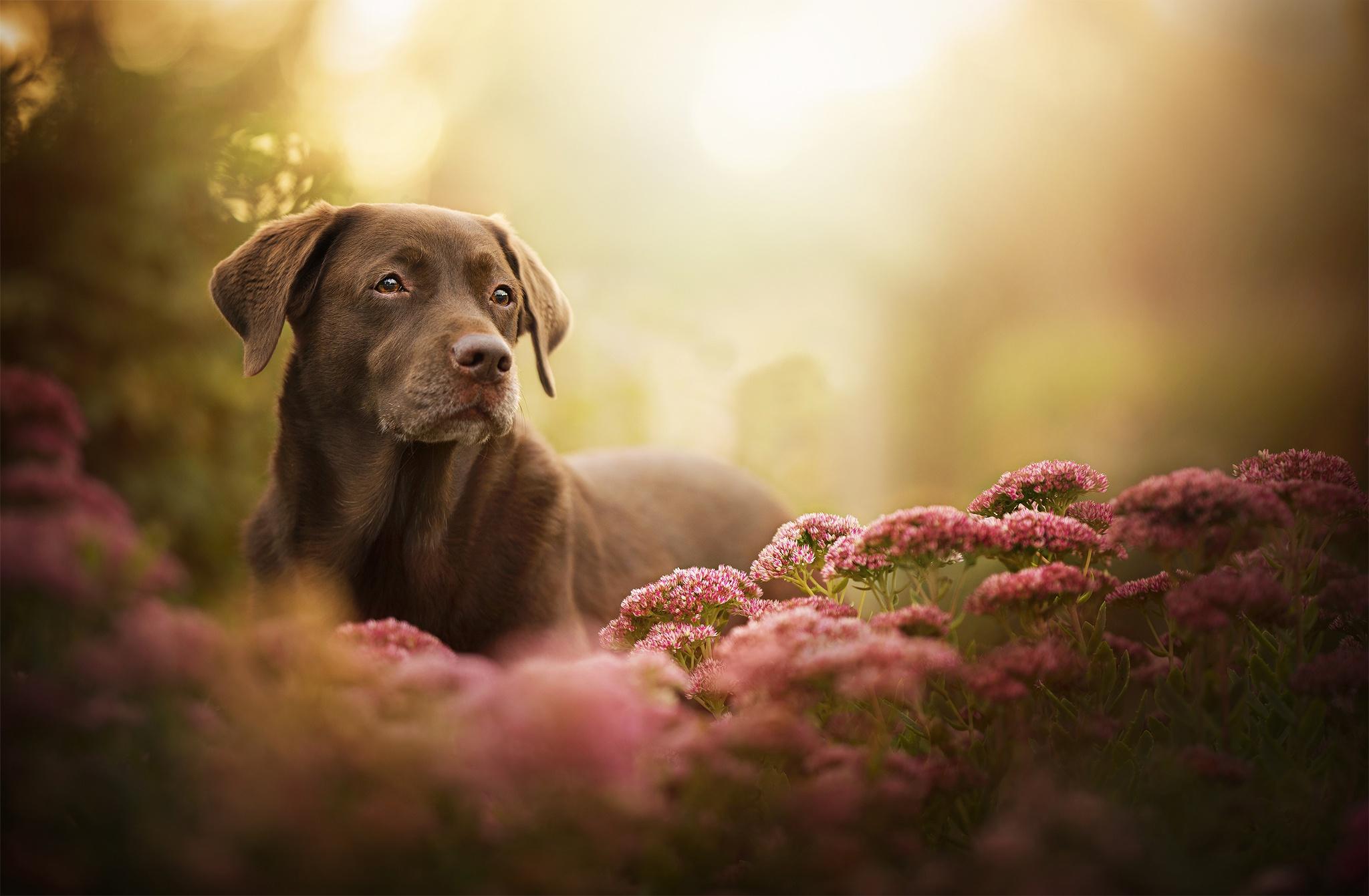 Dog Pet Flower Depth Of Field Pink Flower 2048x1341