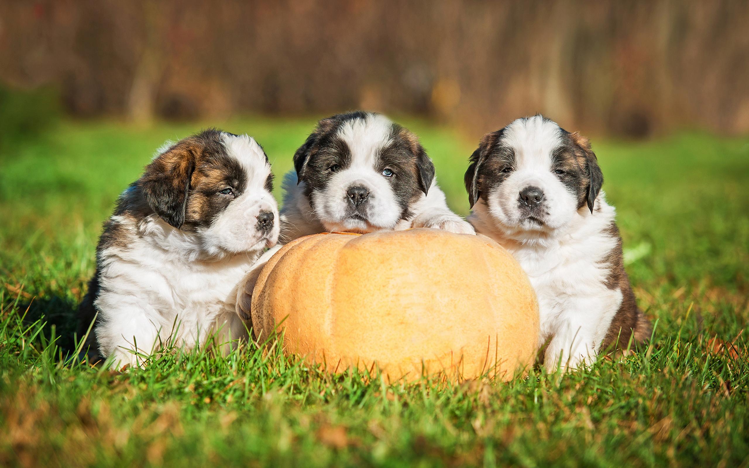 Dog Puppy Pumpkin 2560x1600