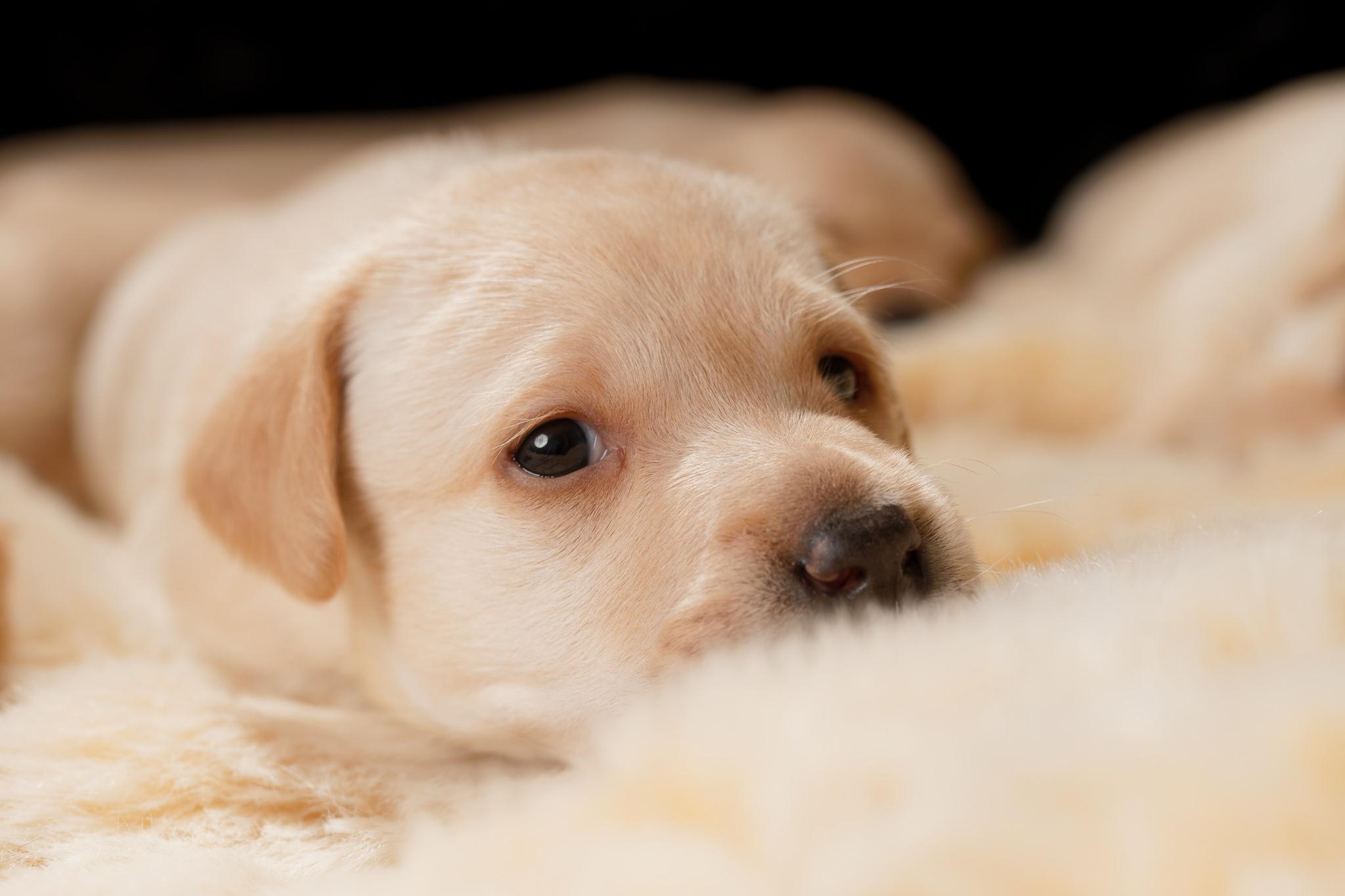 Puppy Dog Pet Baby Animal 2048x1365