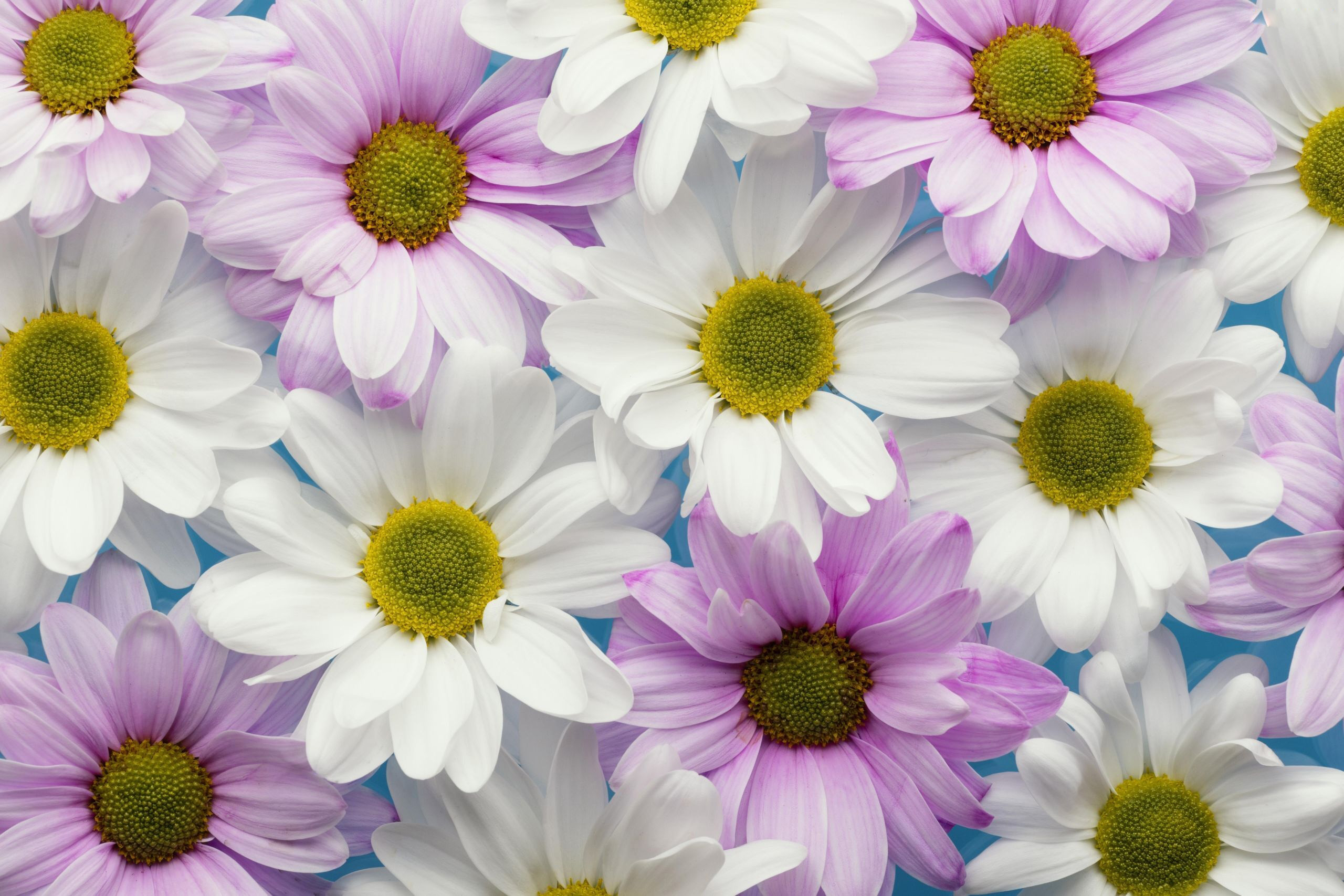 Earth Chrysanthemum 2560x1707