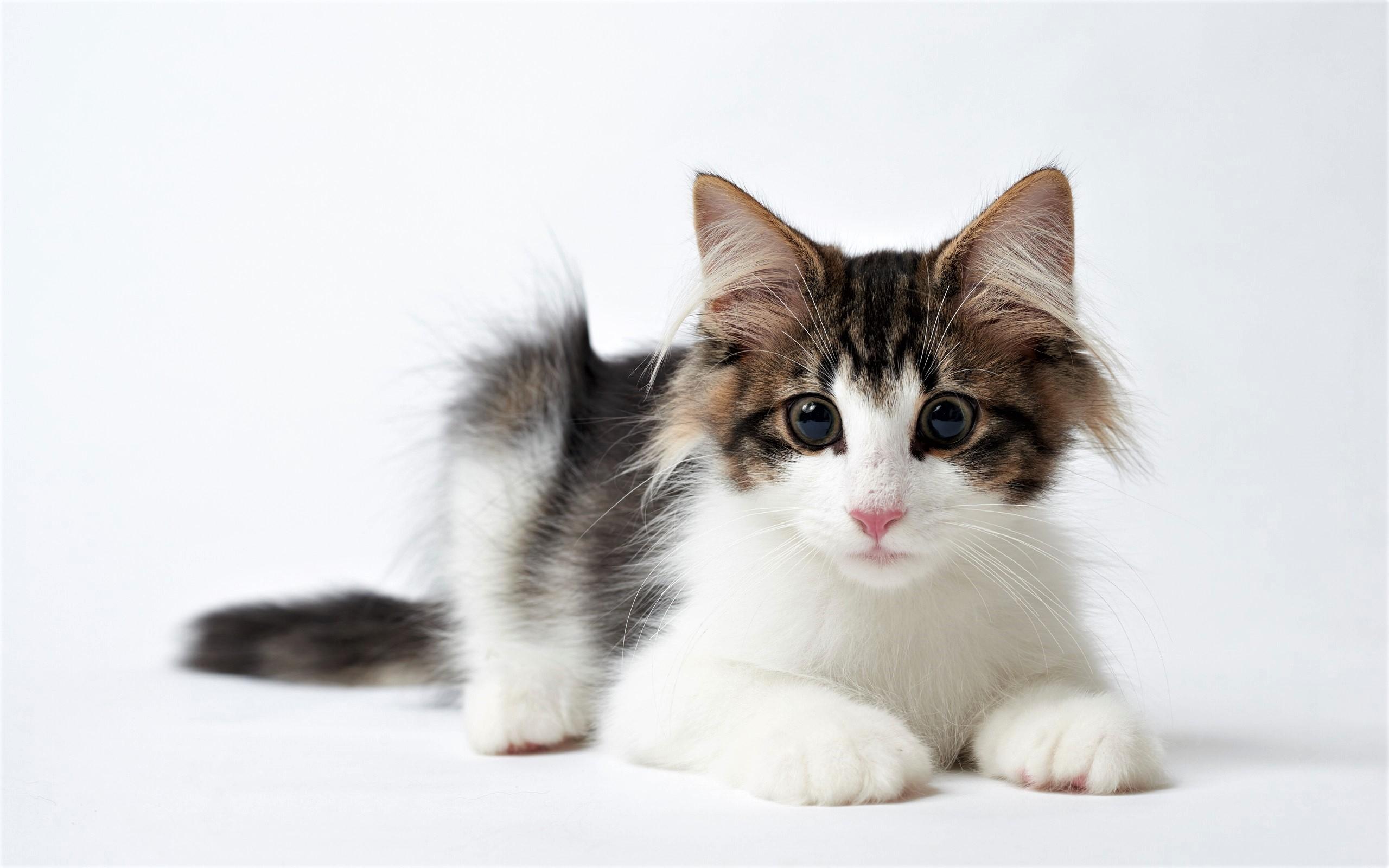 Baby Animal Cute Kitten Pet 2560x1600