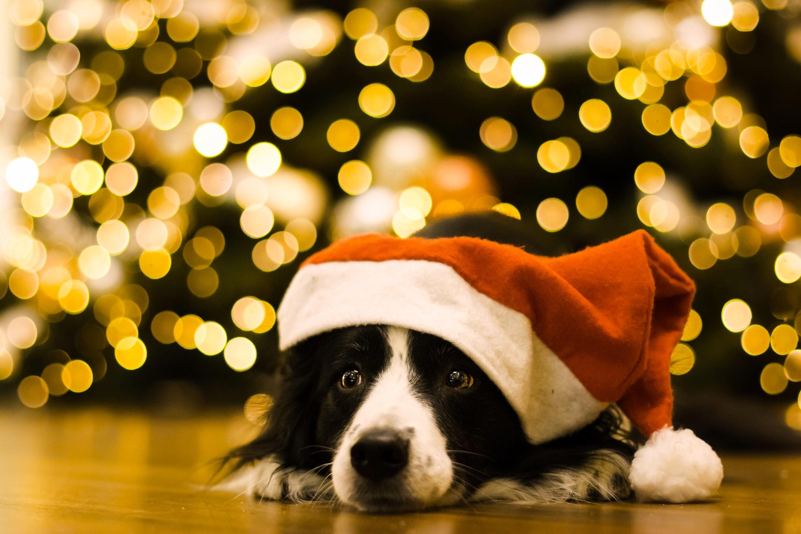 Muzzle Dog Santa Hat 2560x1707