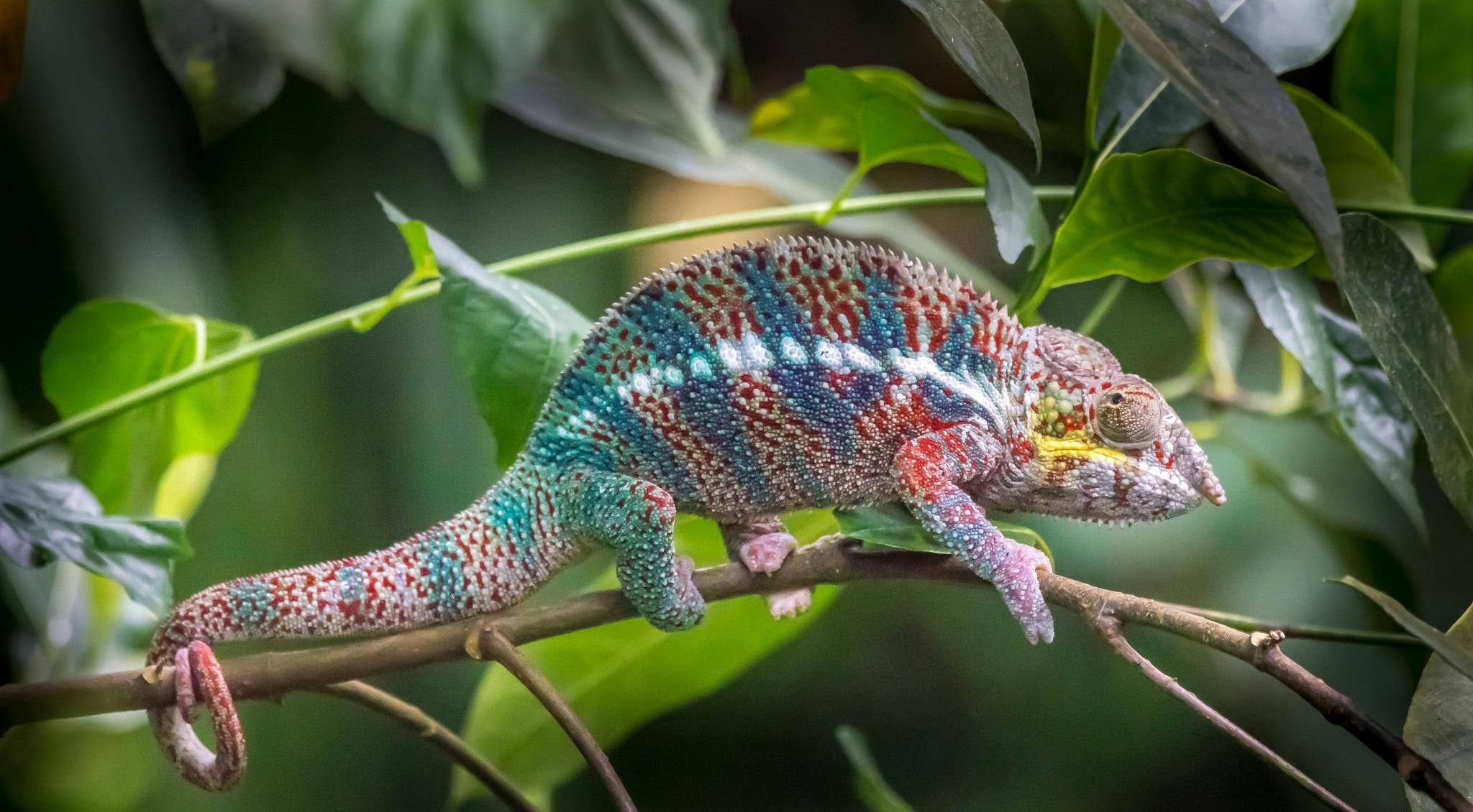 Animal Chameleon 2048x1130