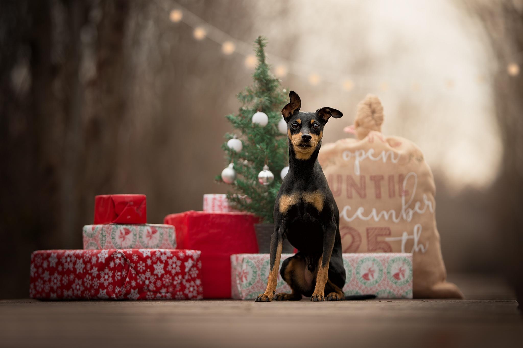 Dog Pet Baby Animal Puppy Gift Depth Of Field 2048x1363