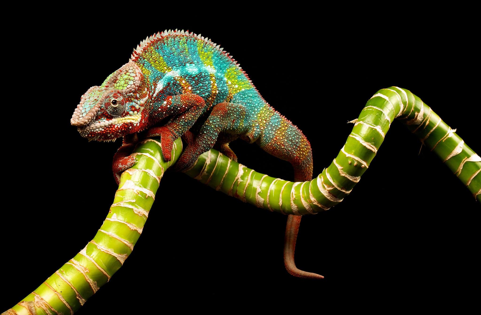 Colors Colorful Branch Lizard Reptile 2048x1342