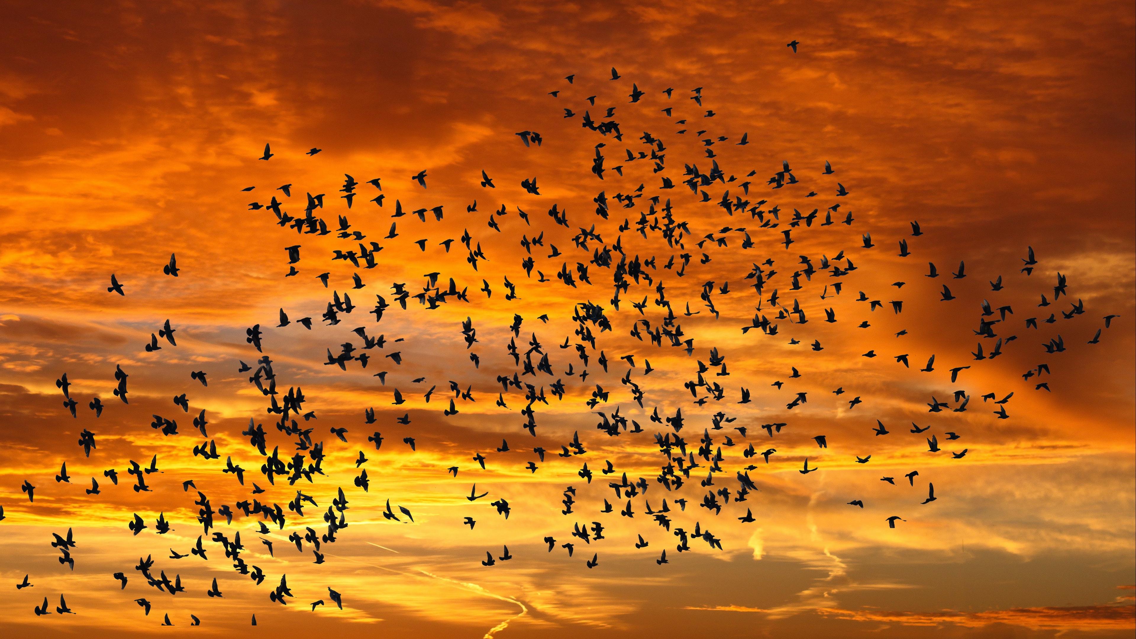 Flying Sunset Flock Of Birds 3840x2160
