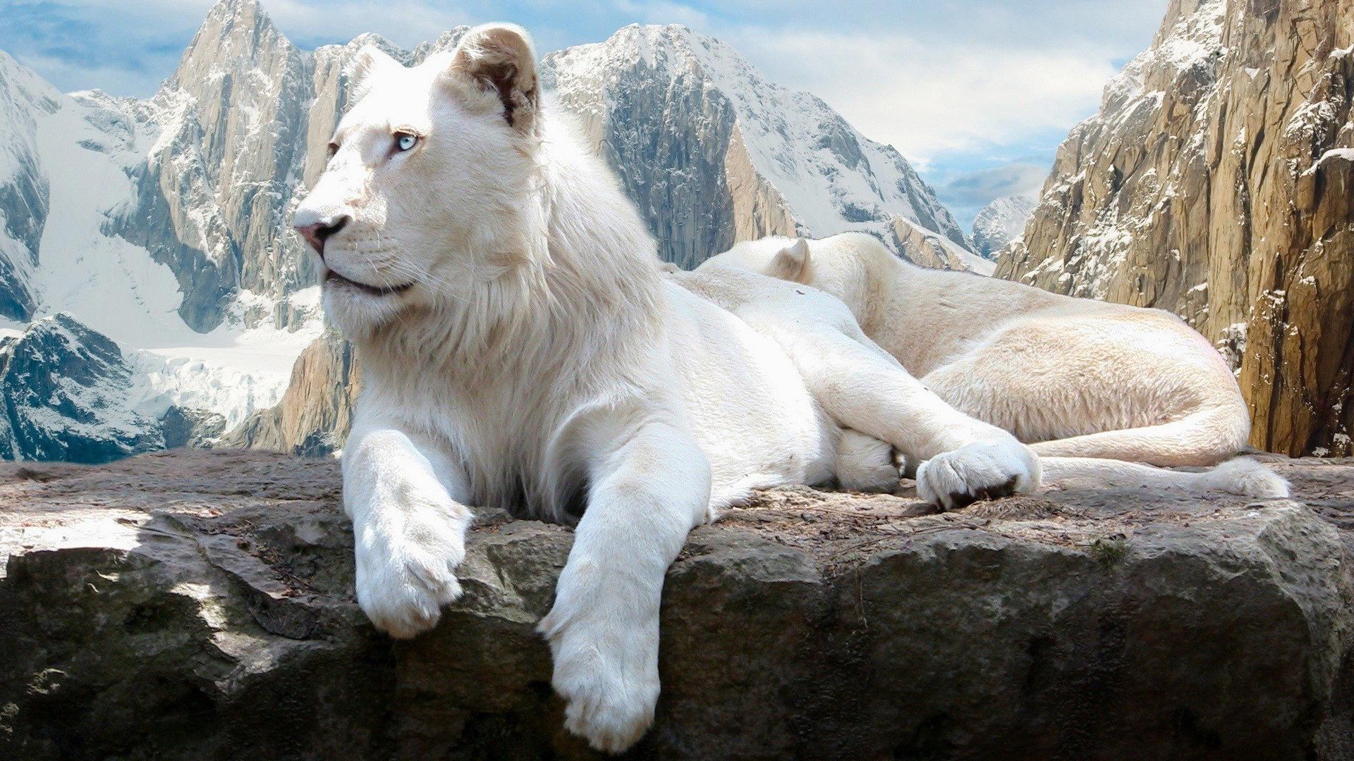 Lion 1920x1080