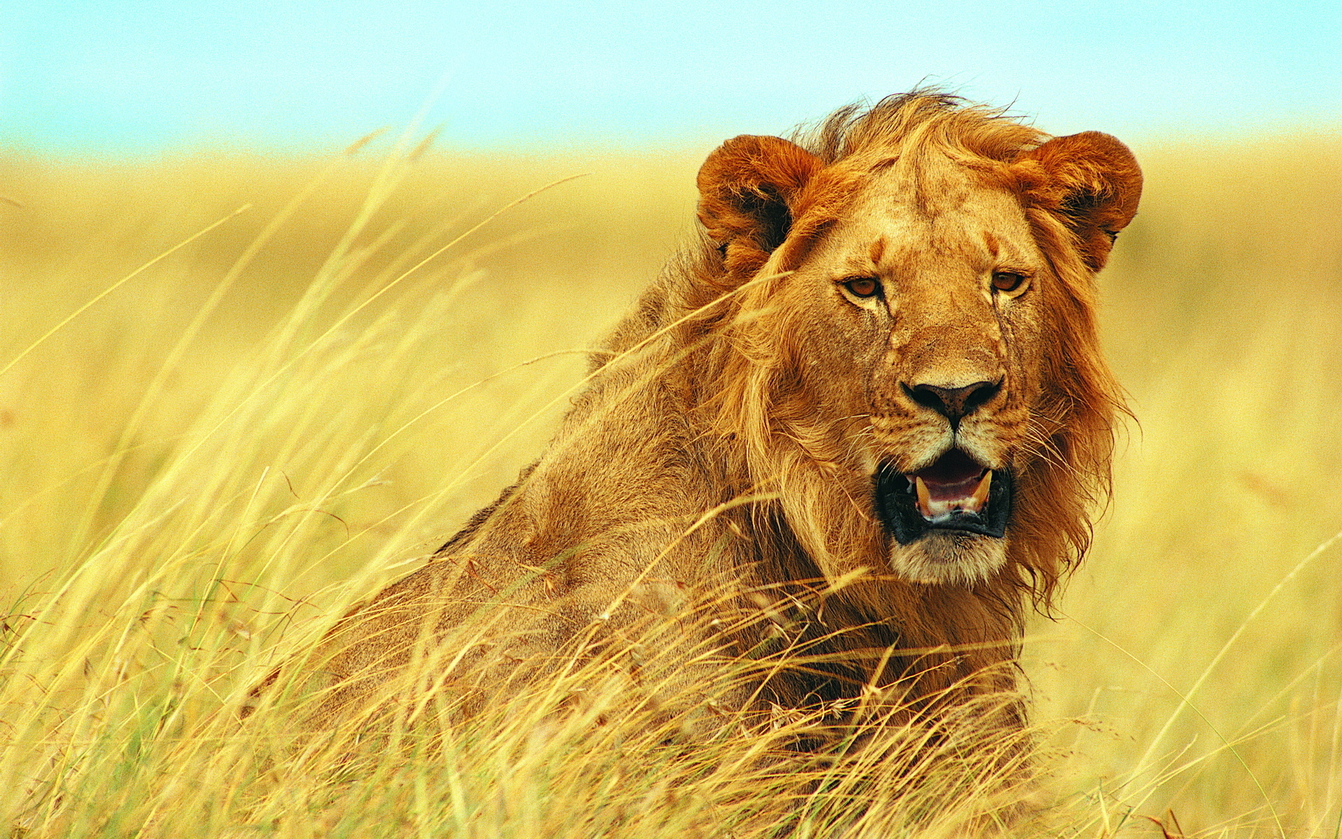 Animal Lion 1920x1200