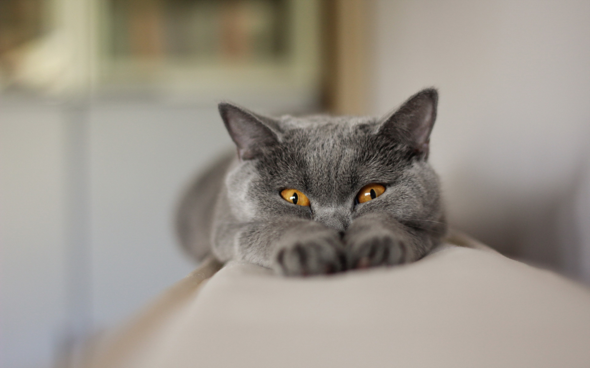 Chartreux Animal Cat Funny Gray 1920x1200