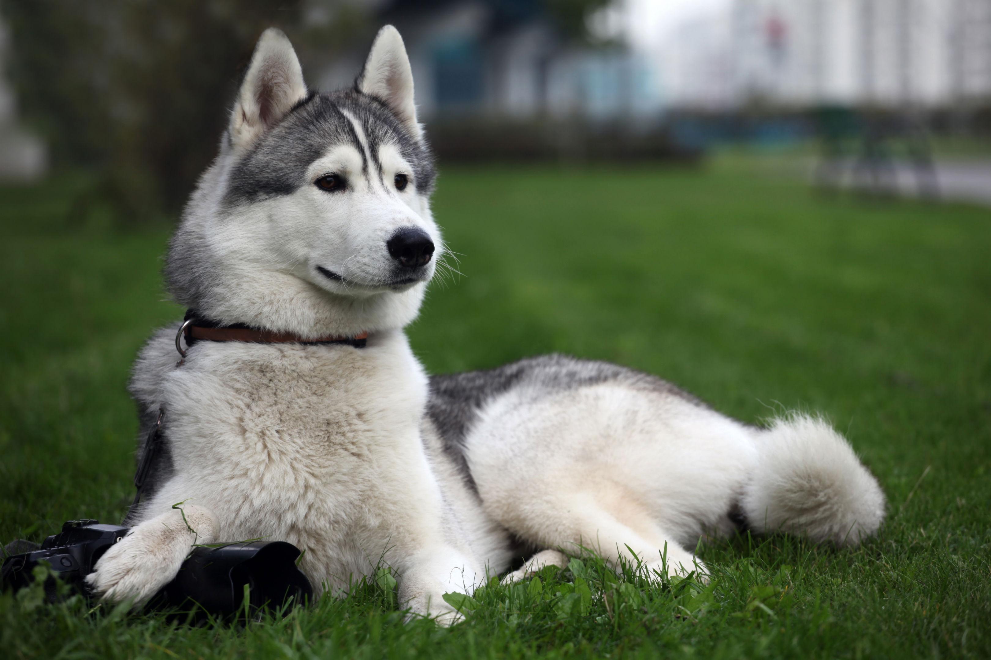 Husky Dog 3240x2160