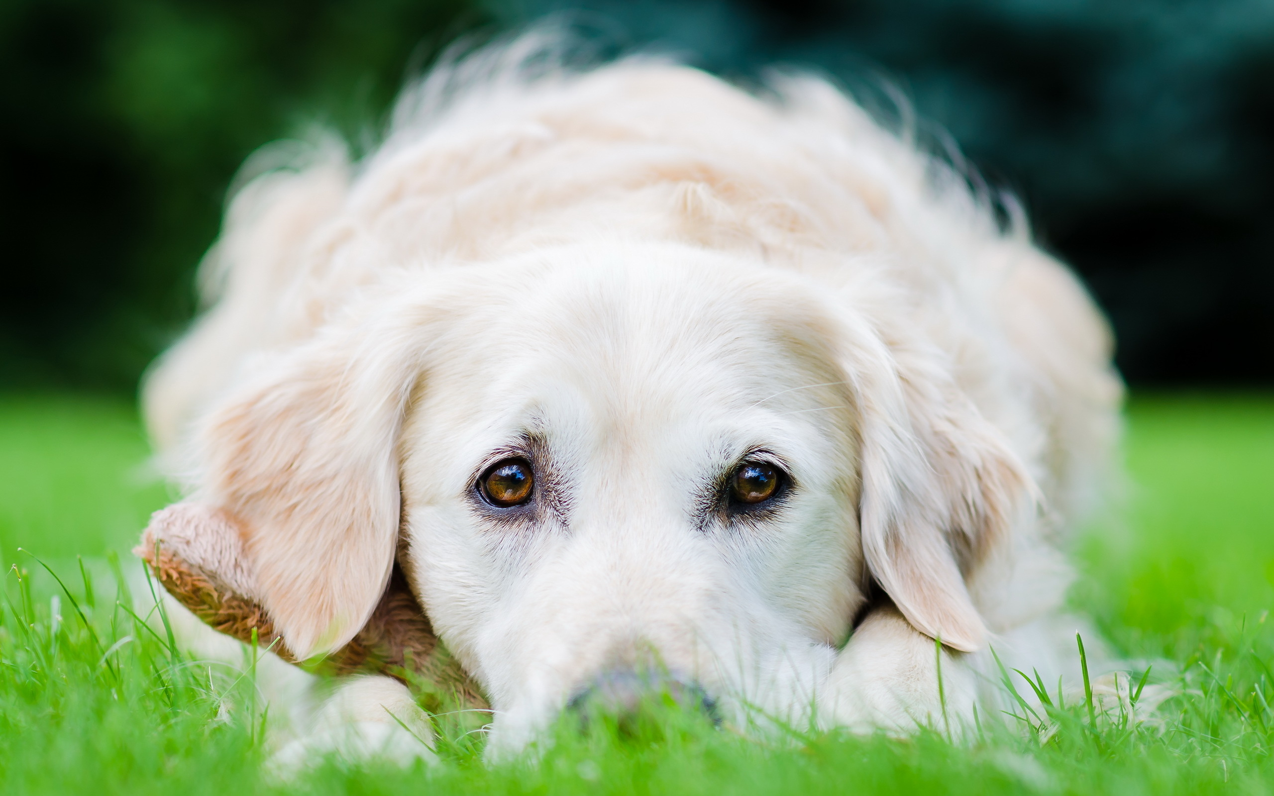 Golden Retriever Dog Stare Grass 2560x1600