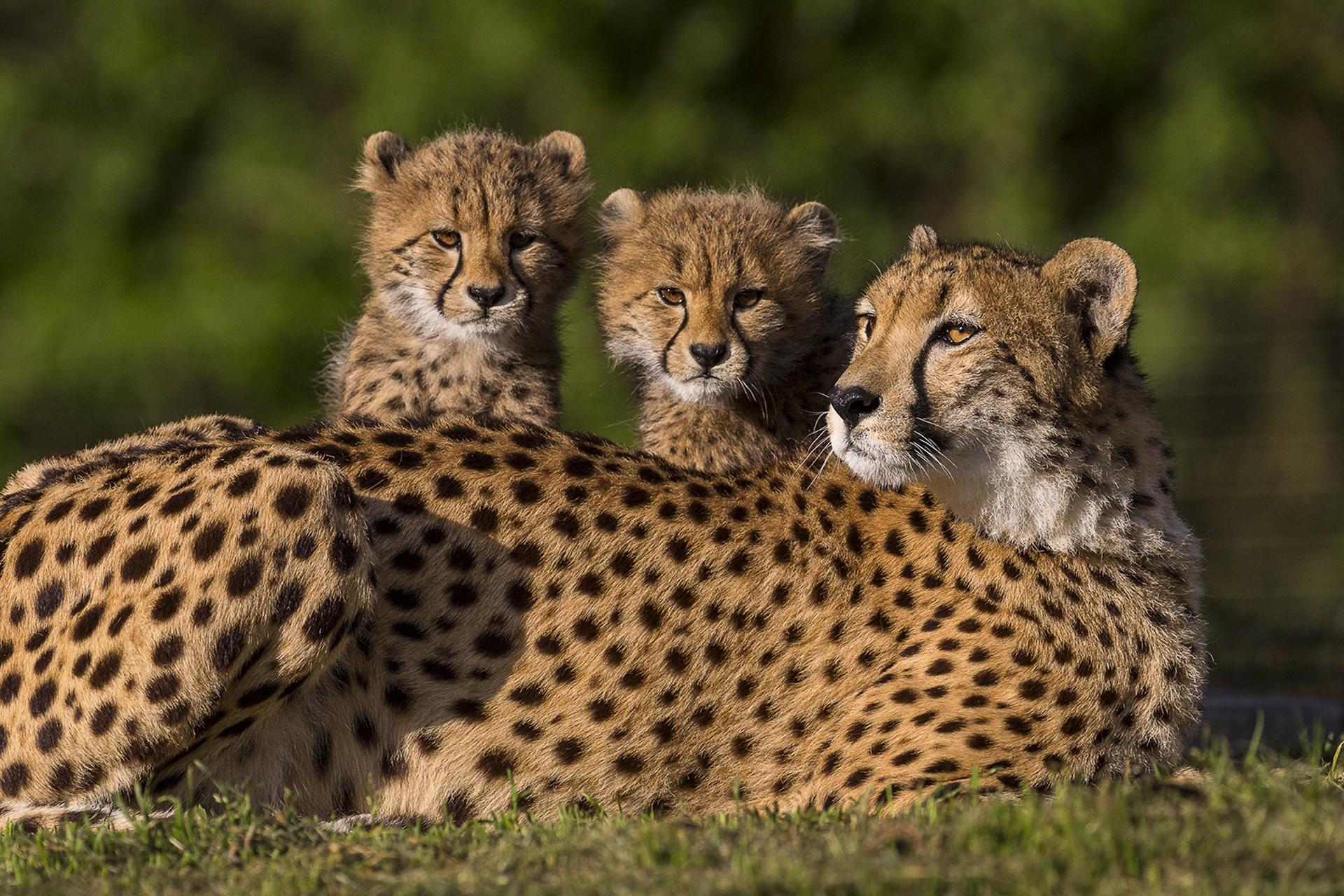 Animals Feline Cheetahs Baby Animals 1920x1280