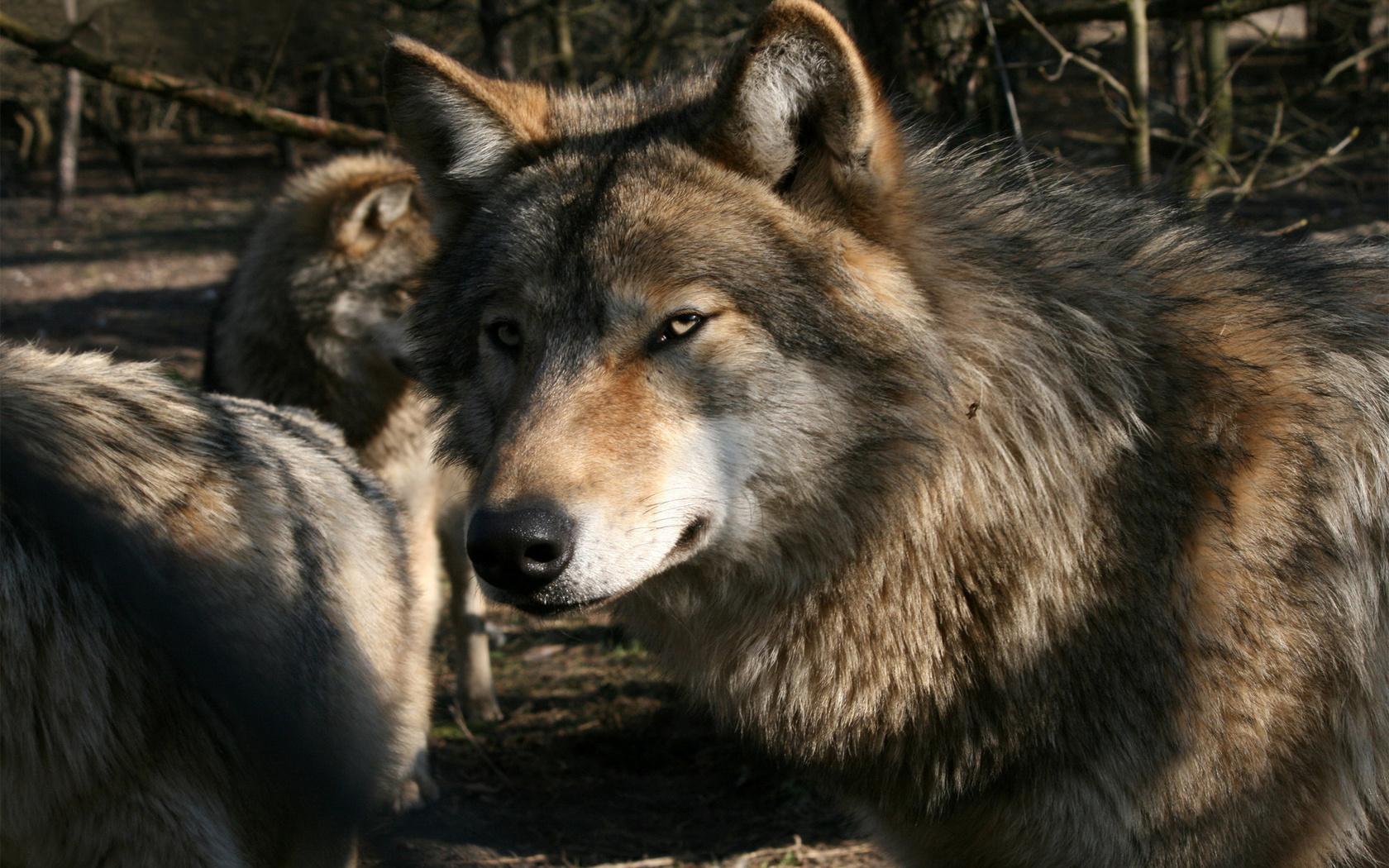 Animal Wolf 1680x1050